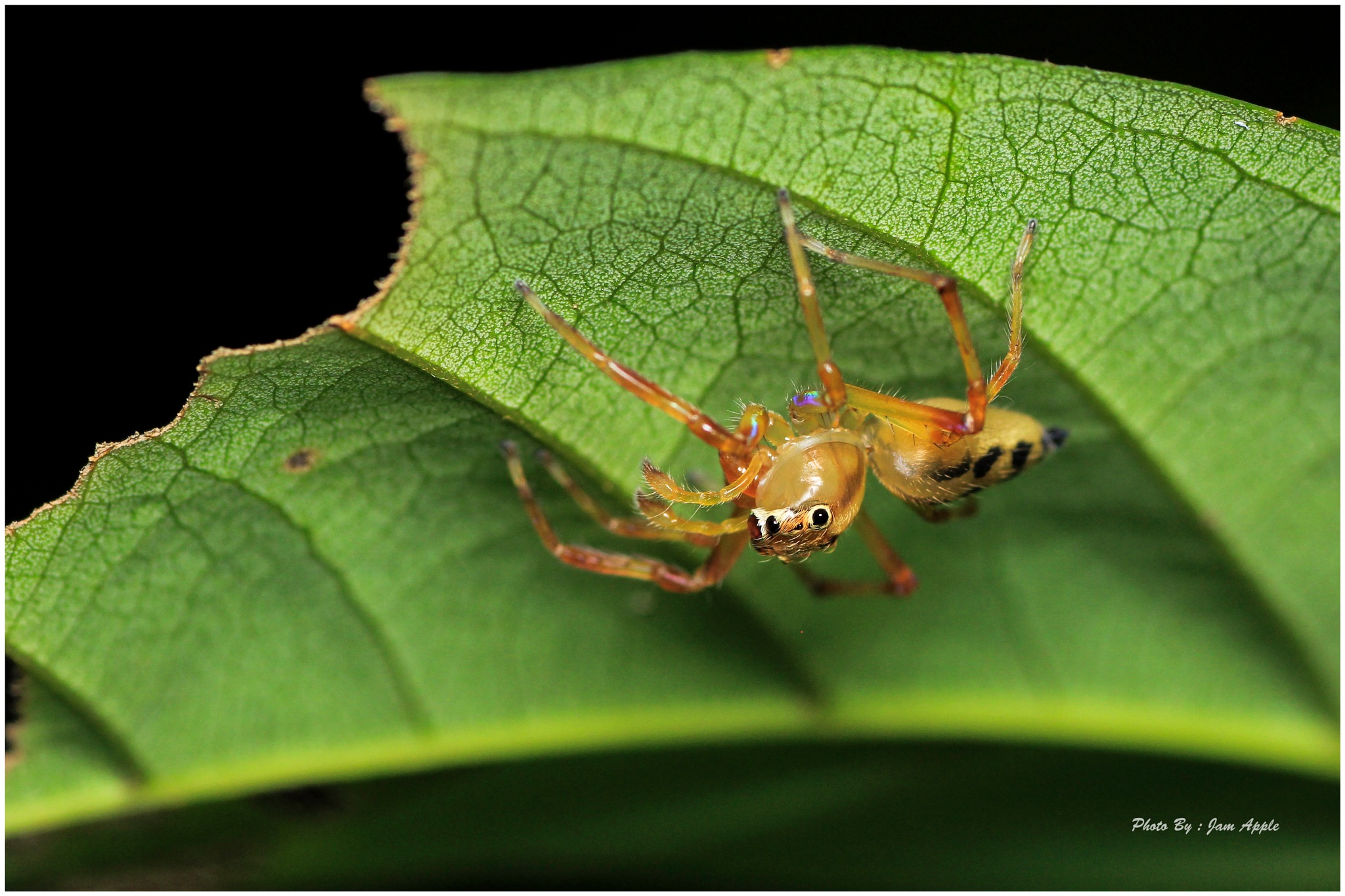 jumping spider~2 by Jam Apple