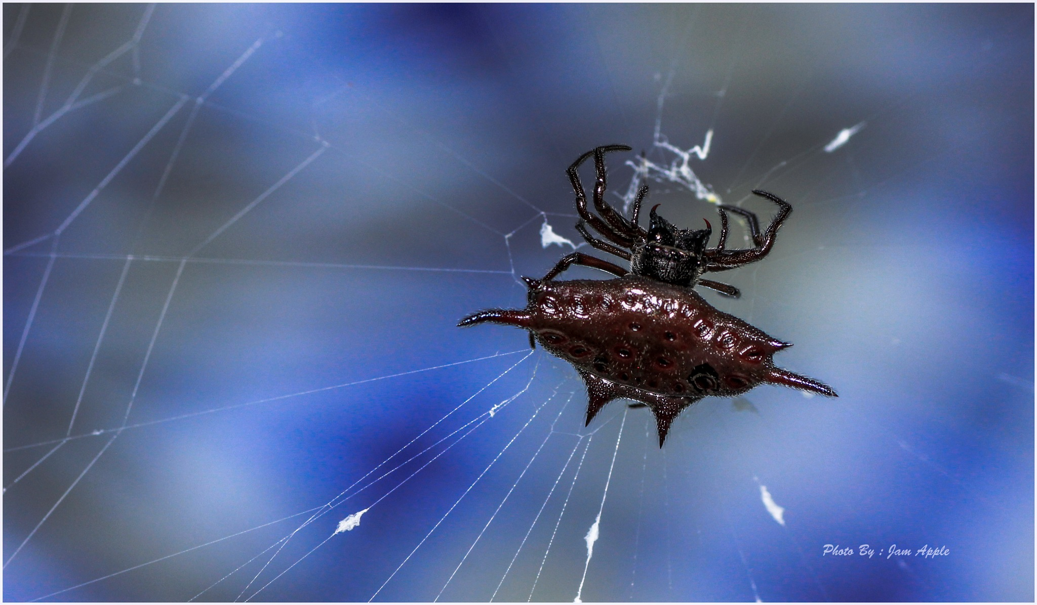 Orb web spider by Jam Apple