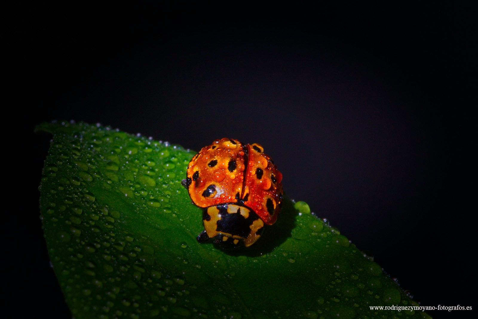 Coccinellidae by luisrguez