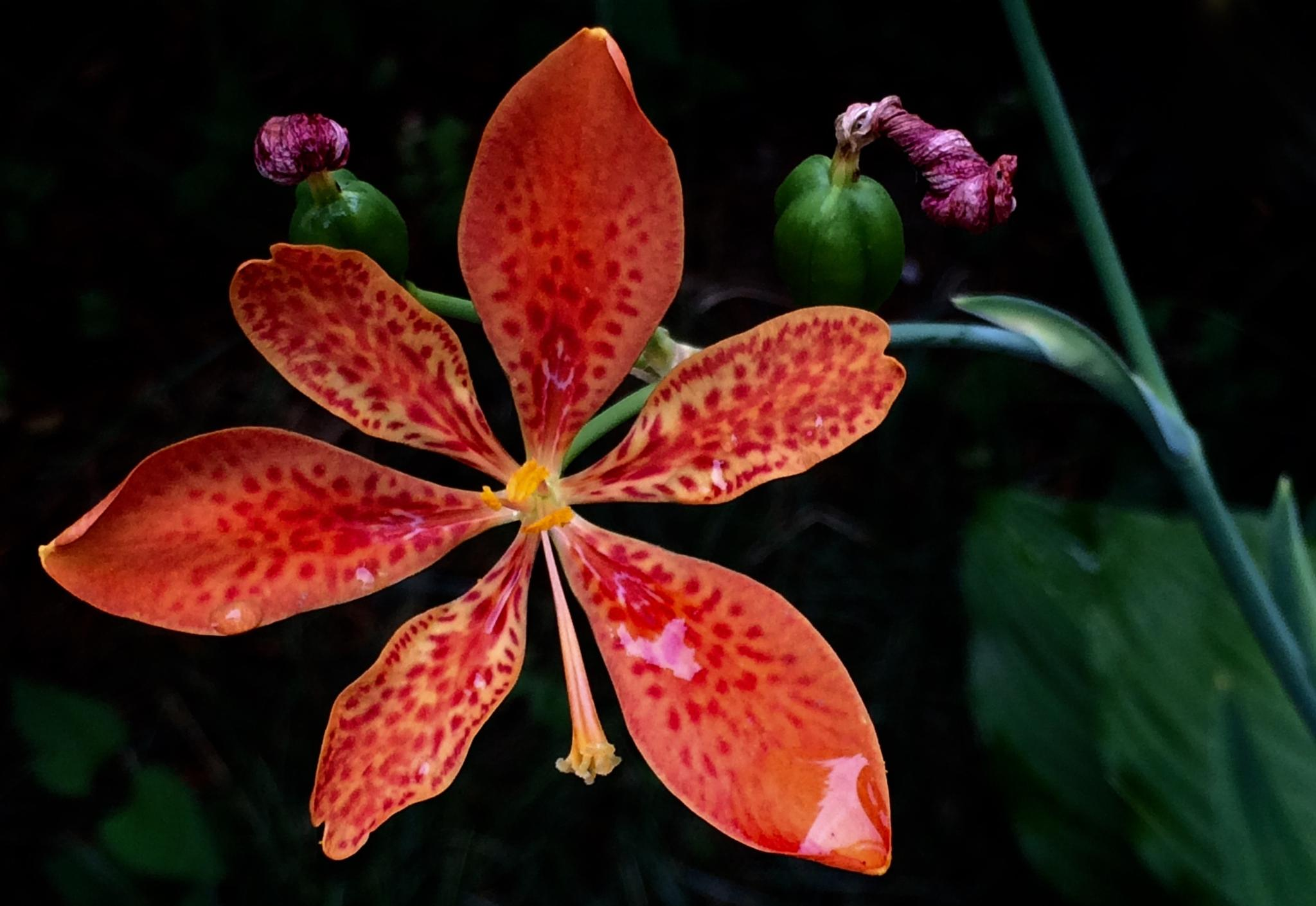 Blackberry Lily by 103aspen10