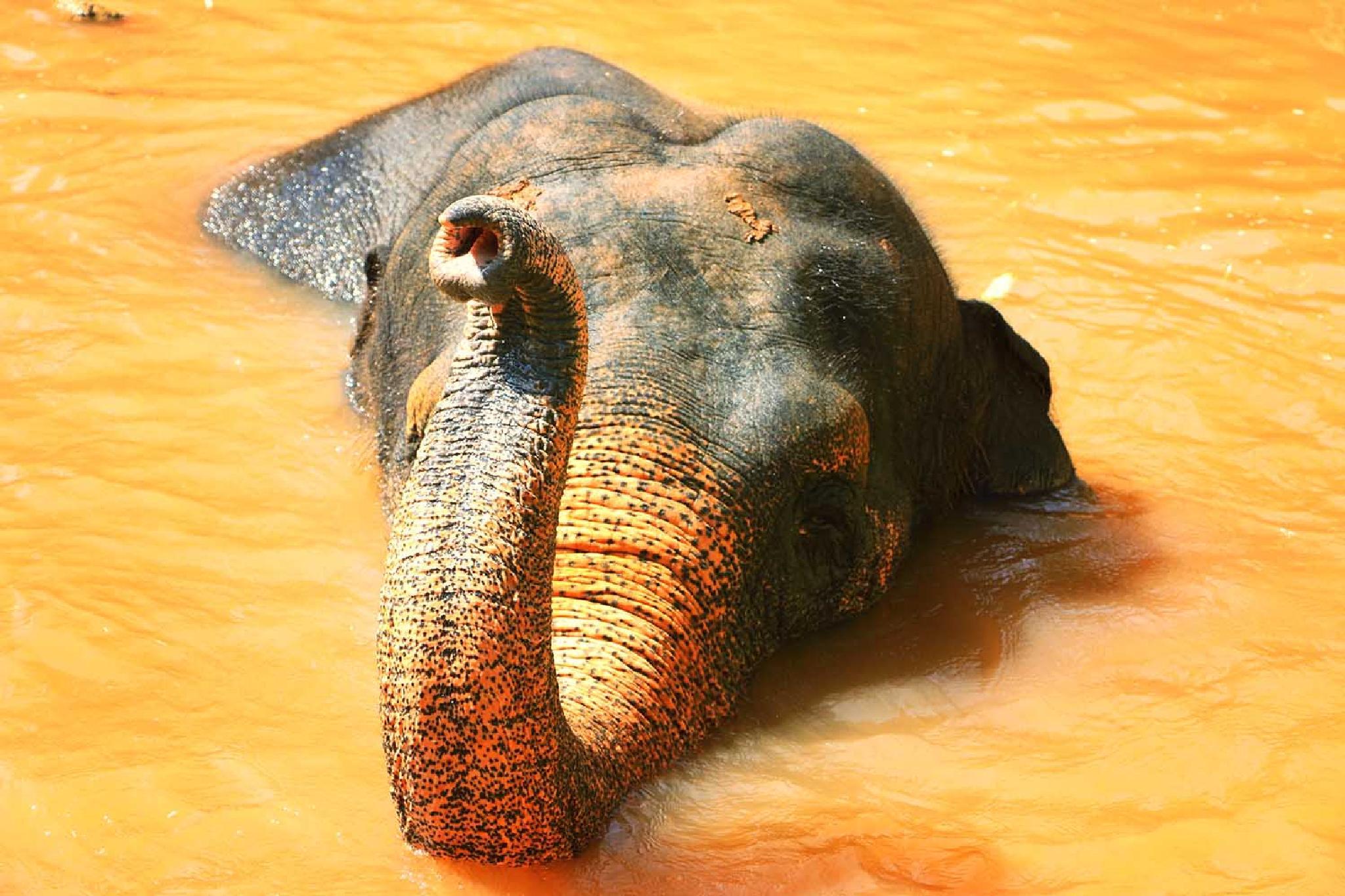 Golden elephant  by Serge