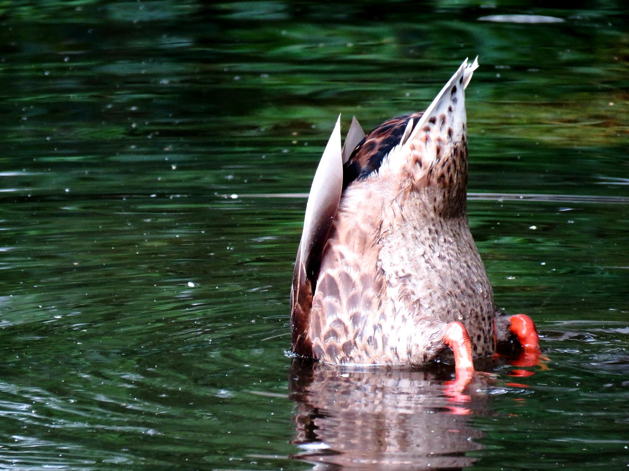 Diving Duck by Henrik Printz
