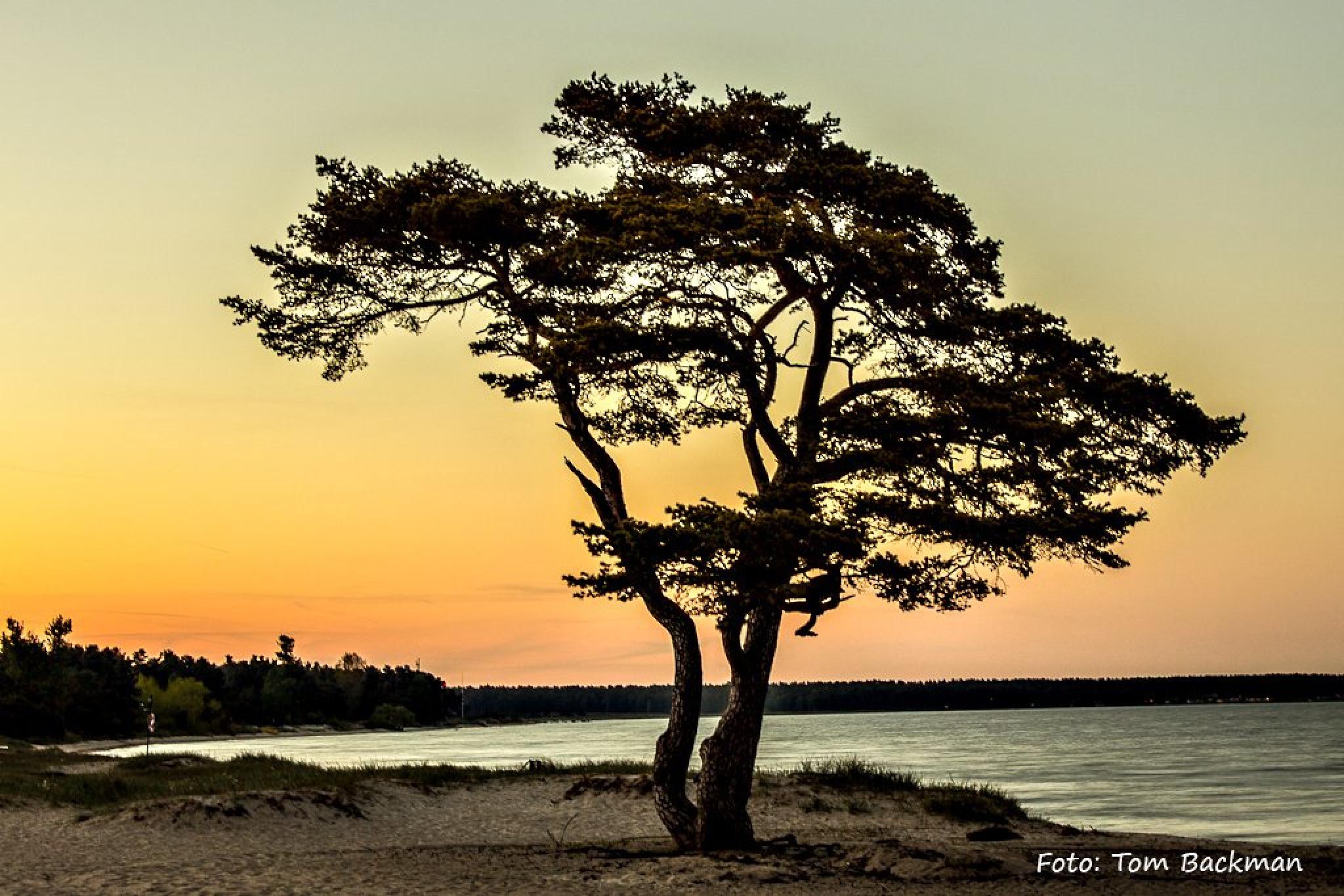 Tall på stranden, Åhus by Tom Backman