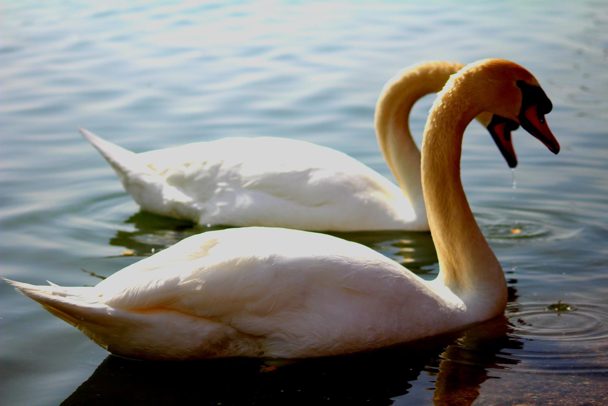 Swans in Love by Alberto Vivarelli