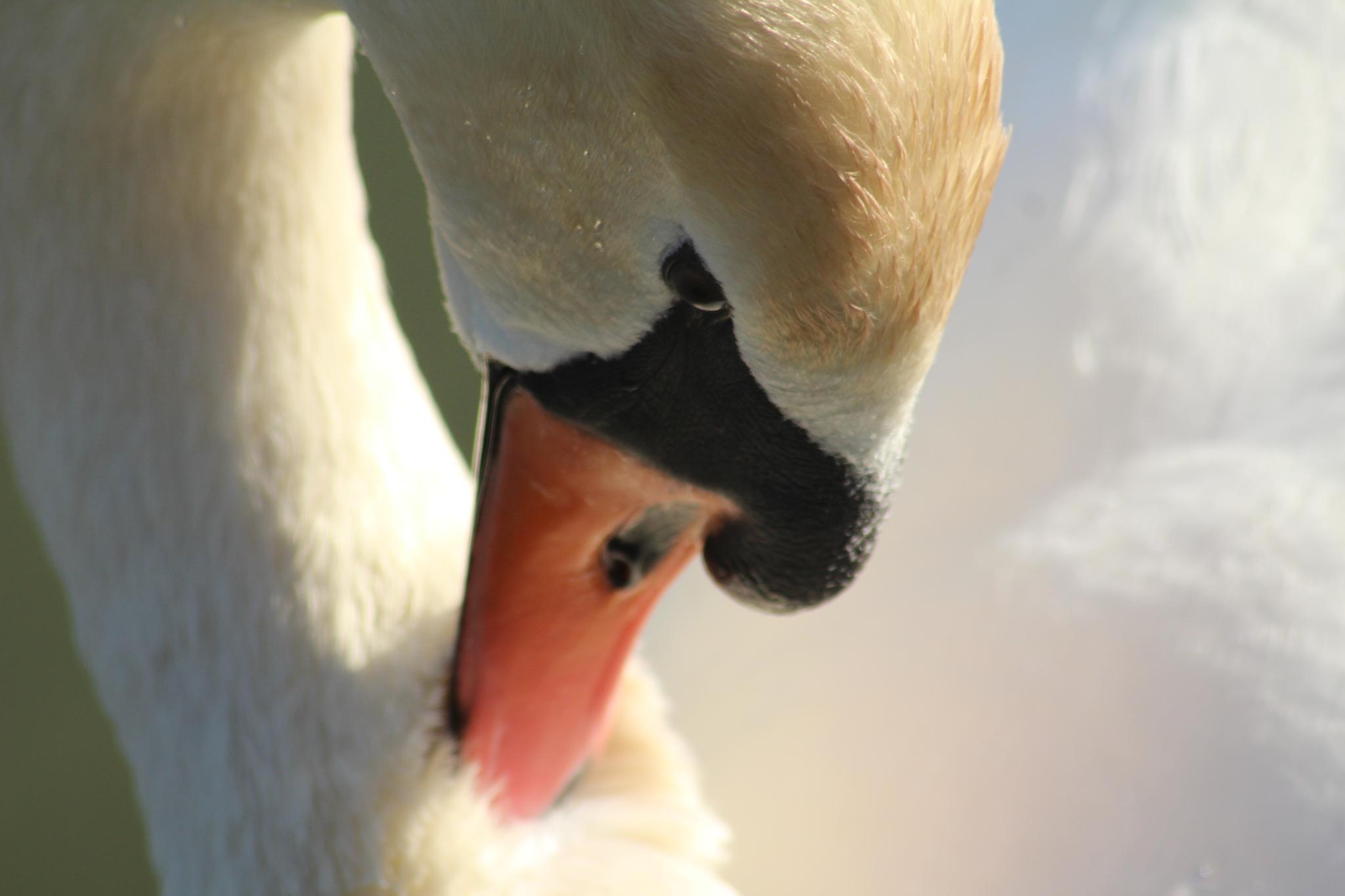 Swan by Alberto Vivarelli