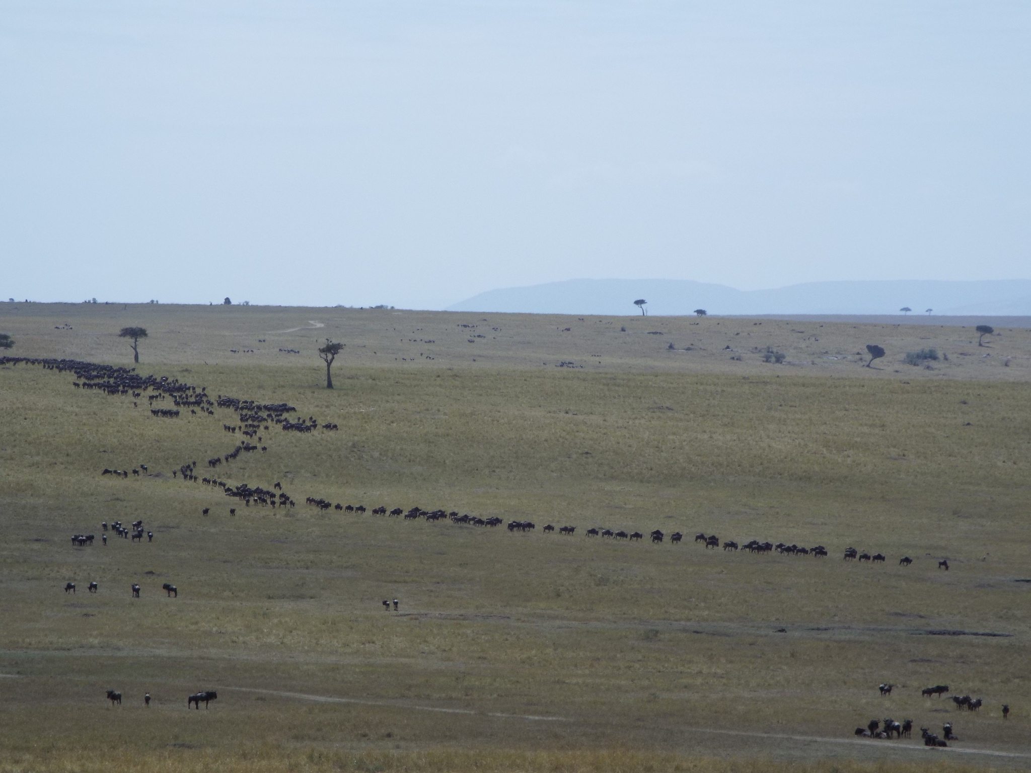 Wild beast queue by Kennethnjihia