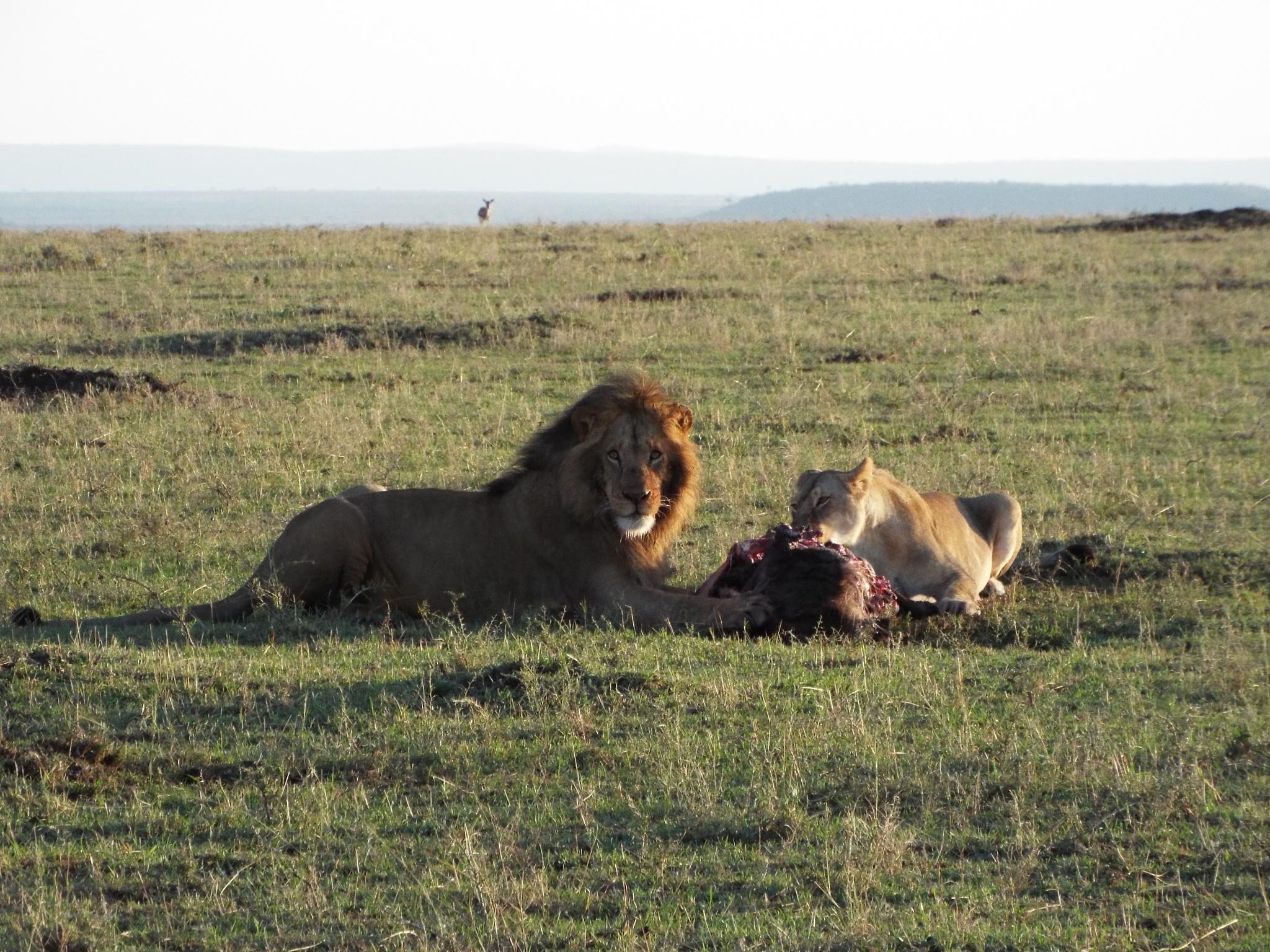 The lion pride feast by Kennethnjihia