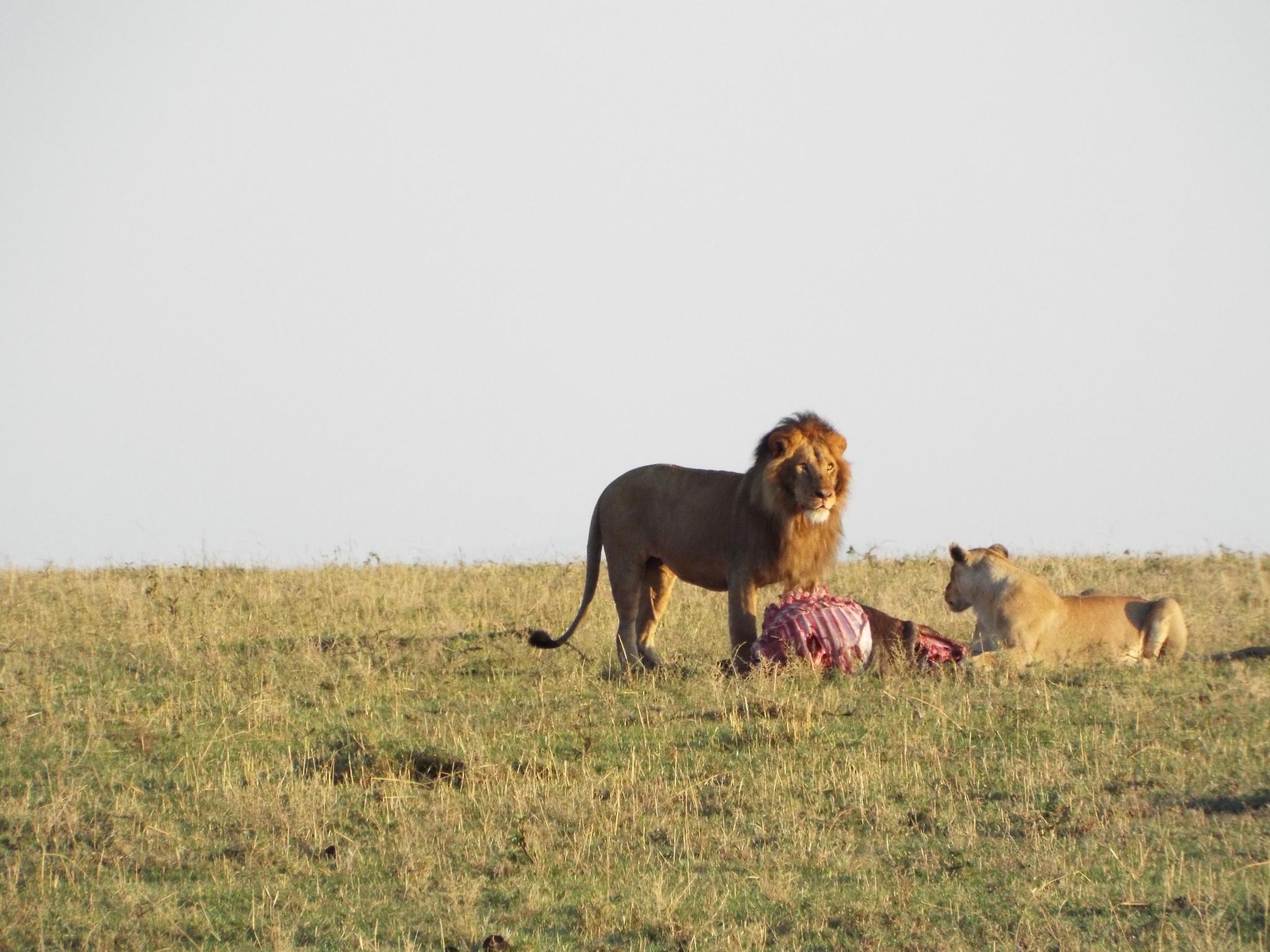 The lion munch by Kennethnjihia