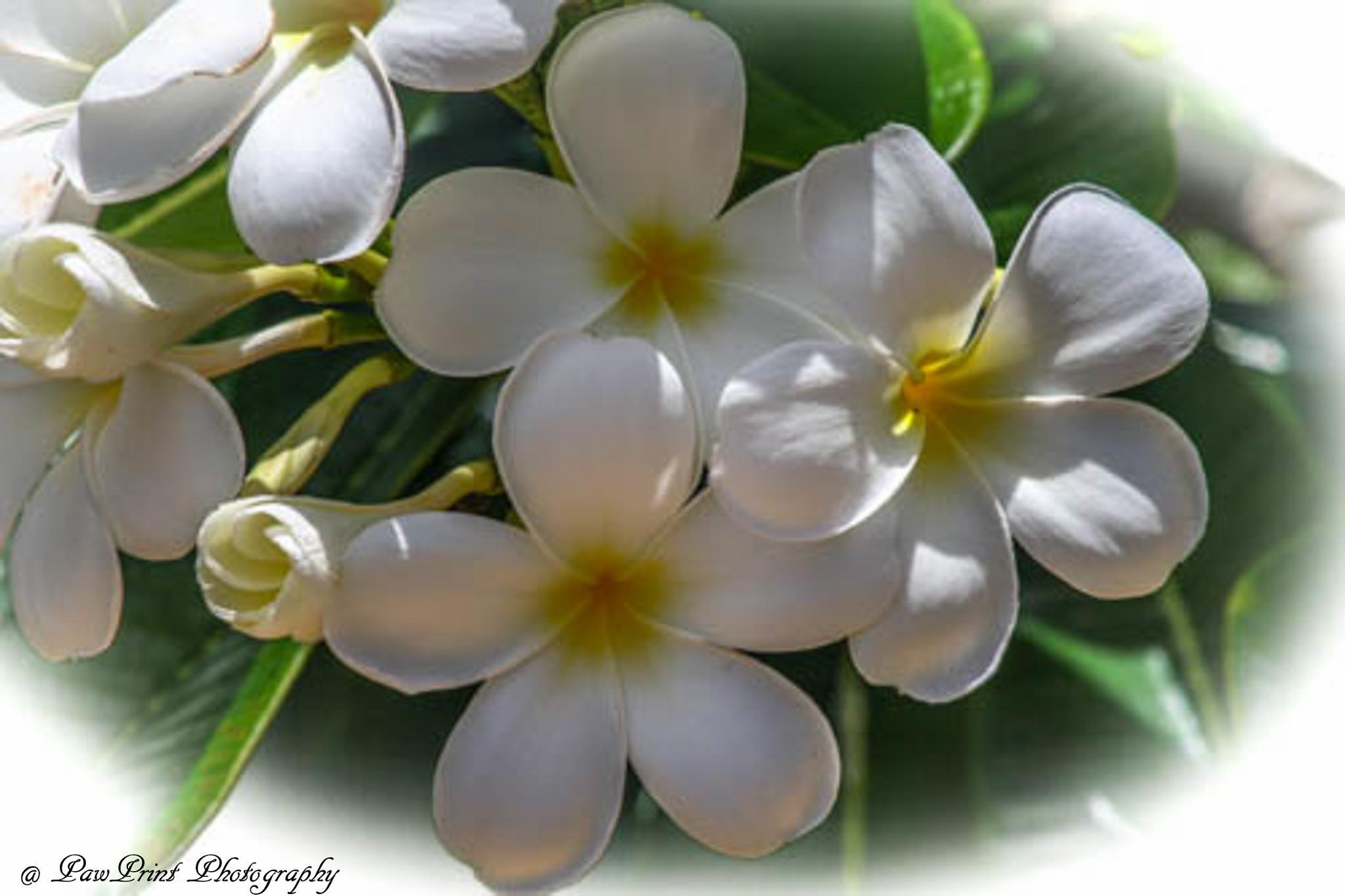 White flowers by Lynn  Flood/PawPrint Photography/Flash Flood Photo and Design