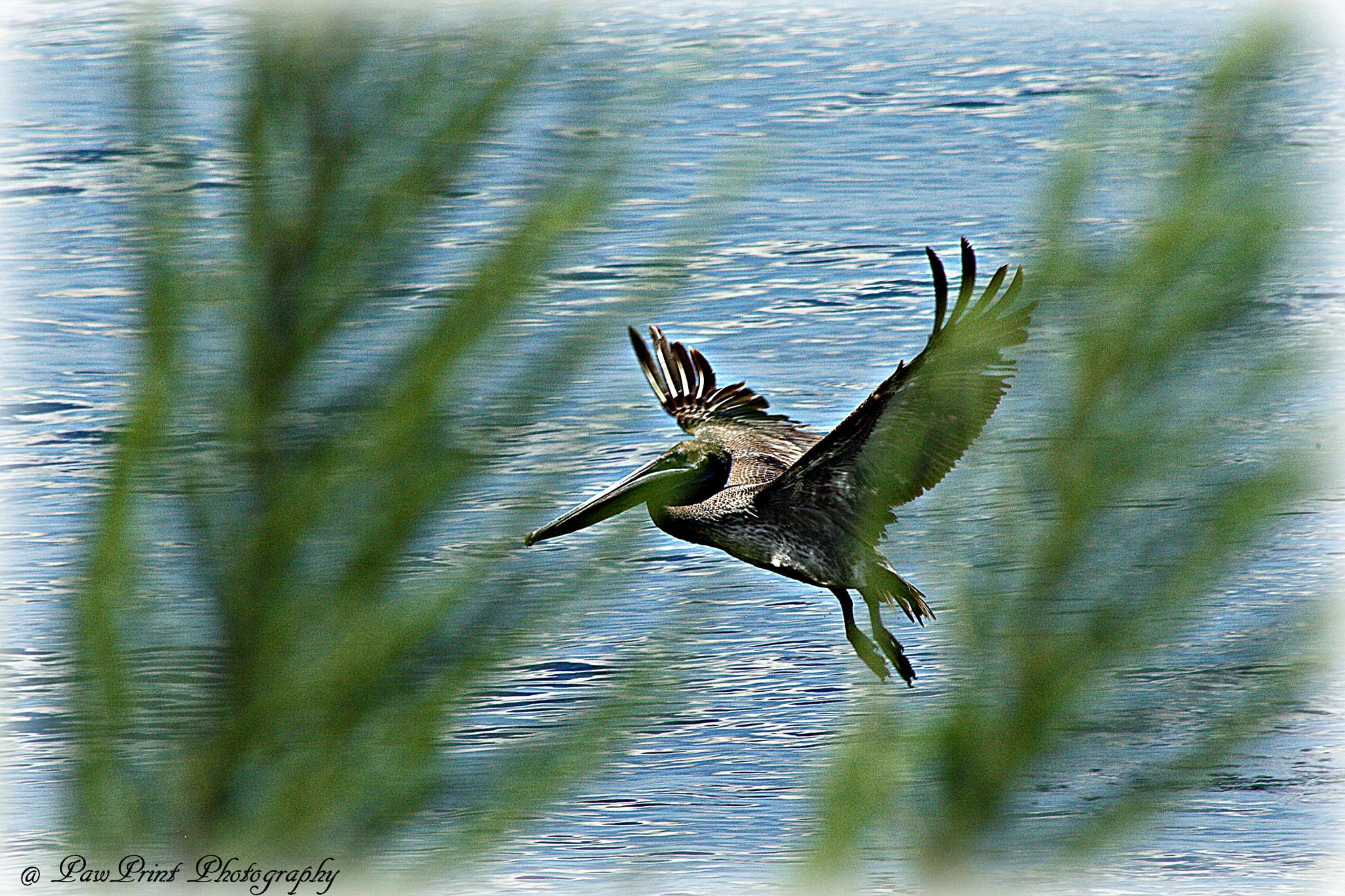 Takin flight by Lynn  Flood/PawPrint Photography/Flash Flood Photo and Design