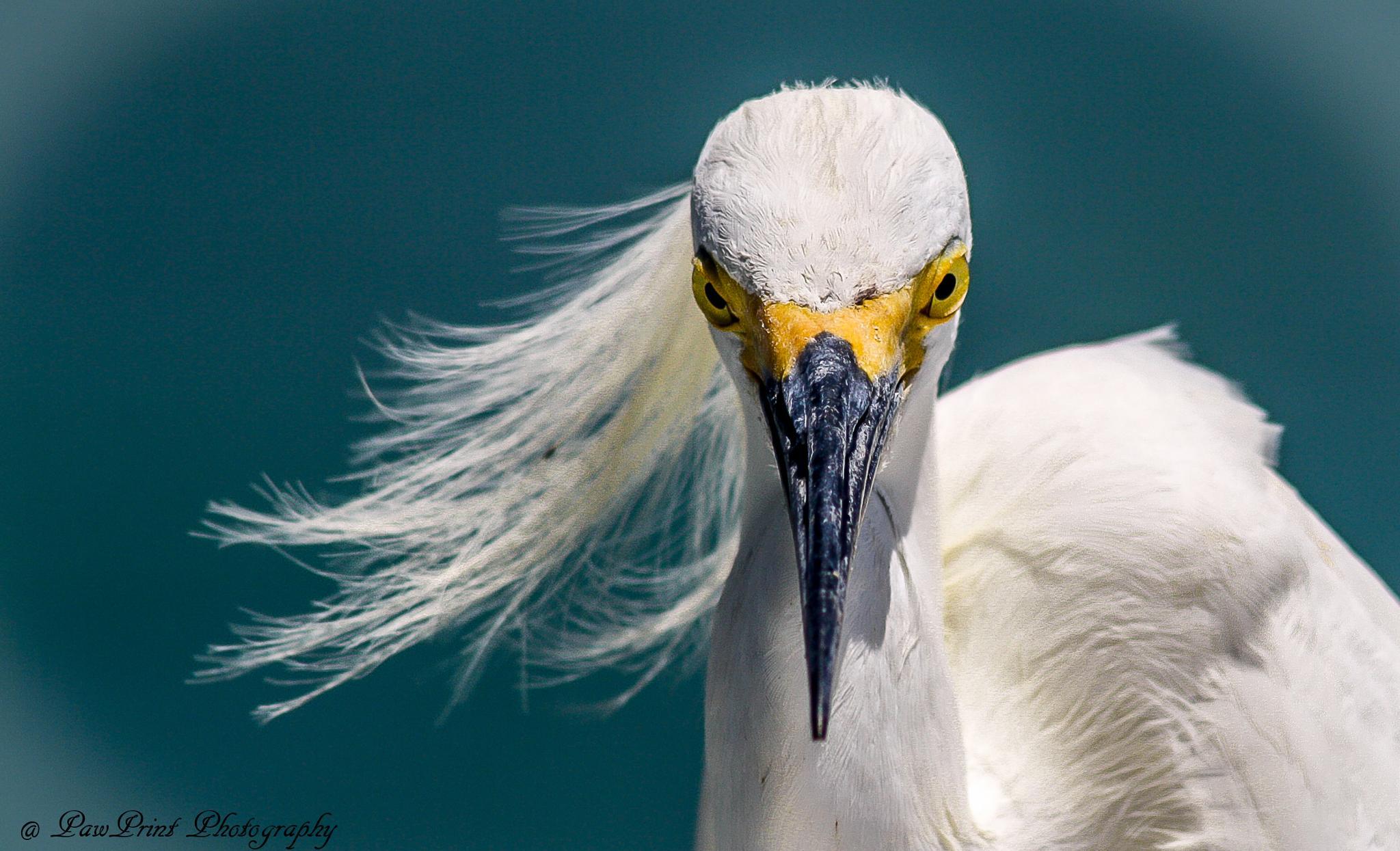 Snow Egret by Lynn  Flood/PawPrint Photography/Flash Flood Photo and Design
