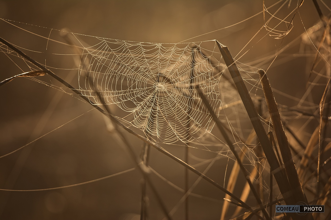Backlit Webs by ComeauPhoto