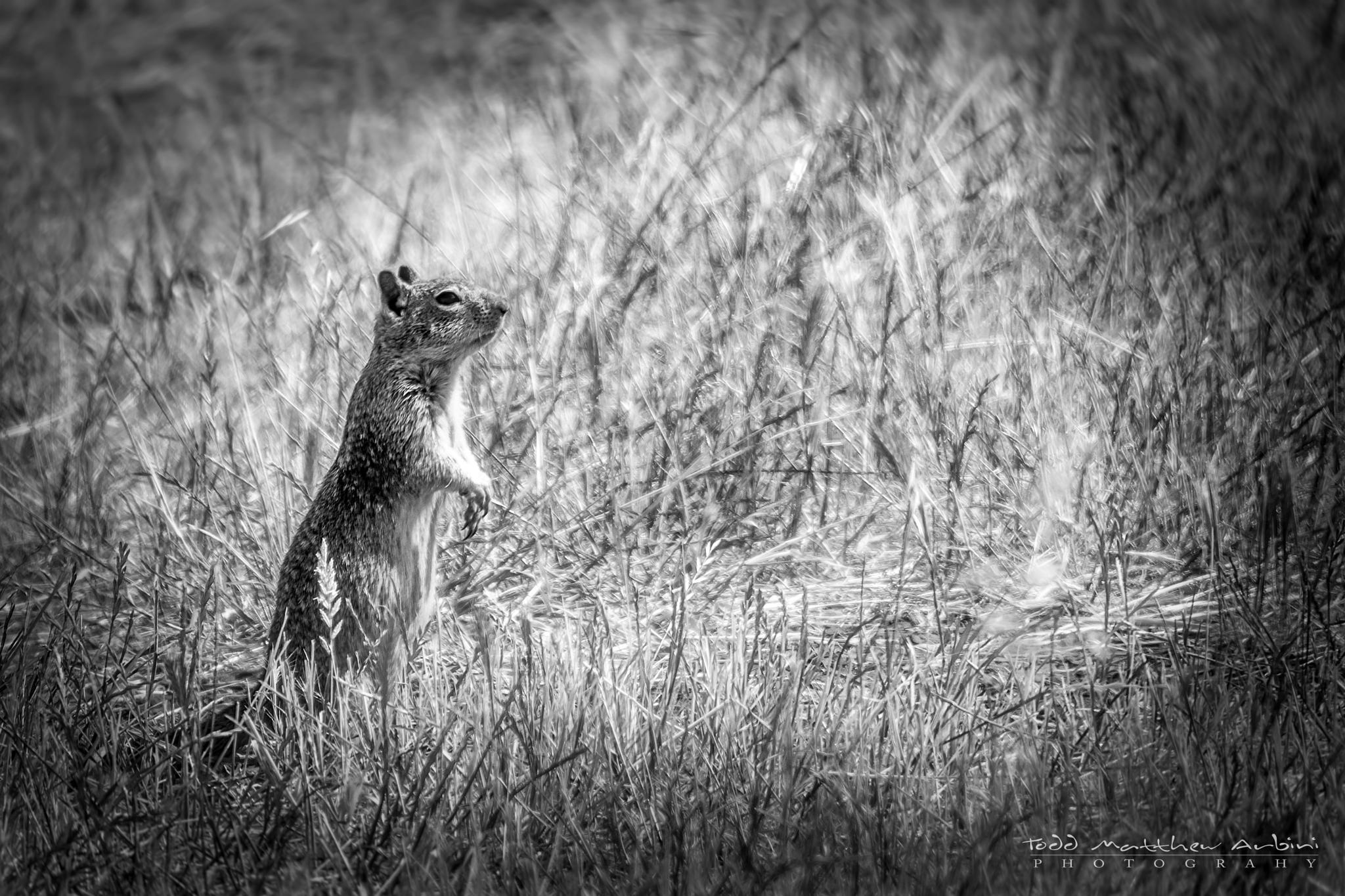 Ground Squirrel by Todd Arbini