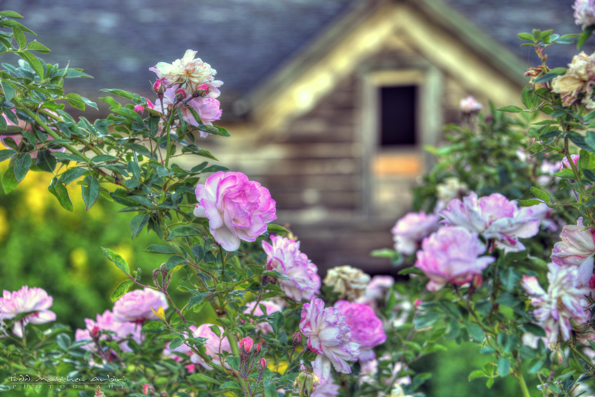 Old House and Roses by Todd Arbini