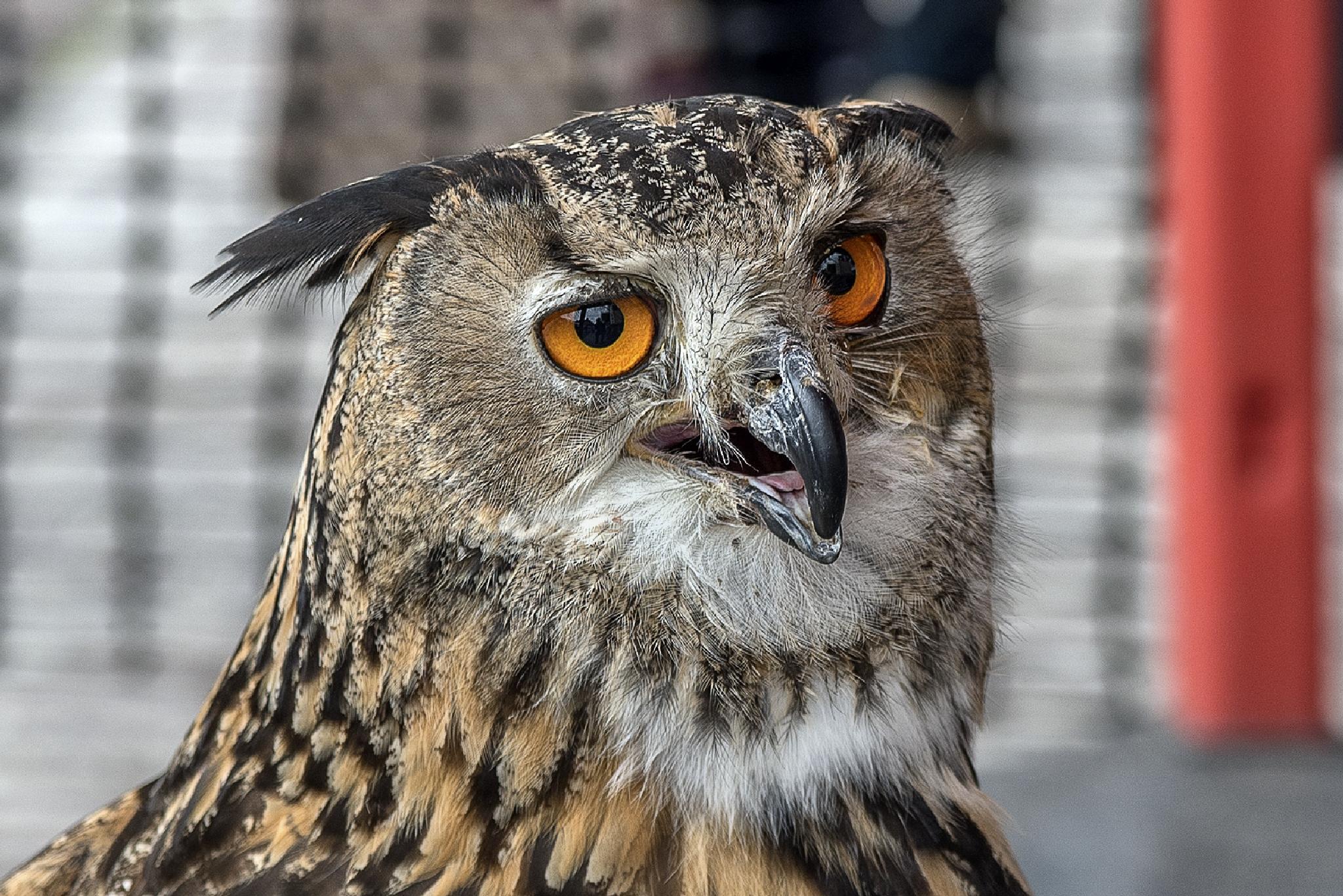 Great Horned Owl. by Darrell Burnett