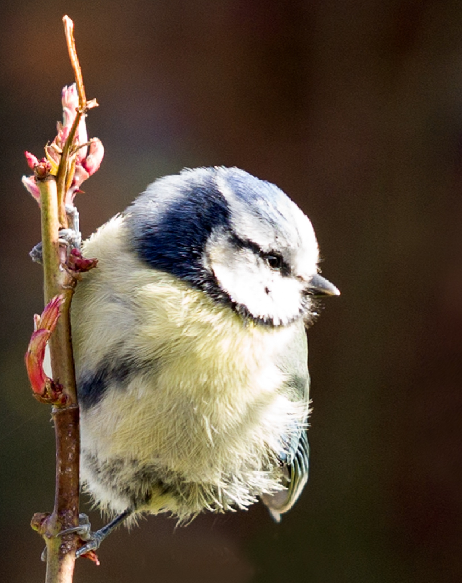 Blue Tit - clinging to a rose by escargo2k