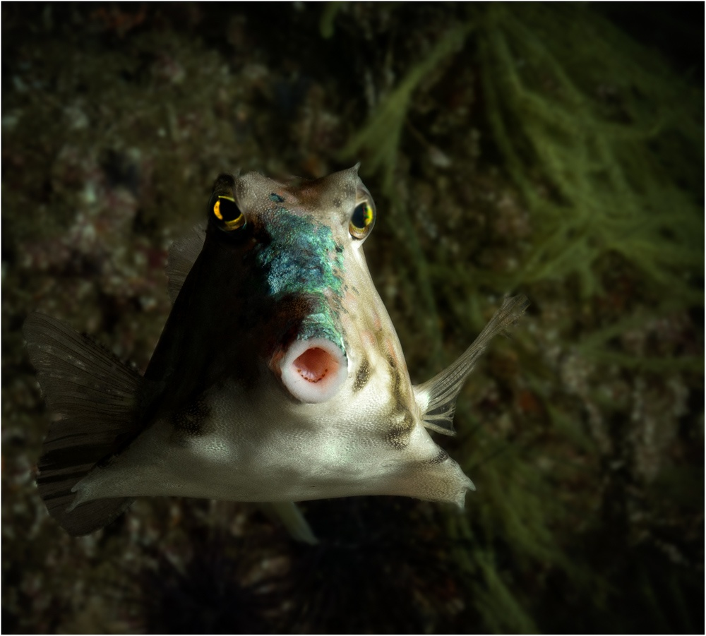 Pyramid-Box-Fish by Dr. Ortwin Khan