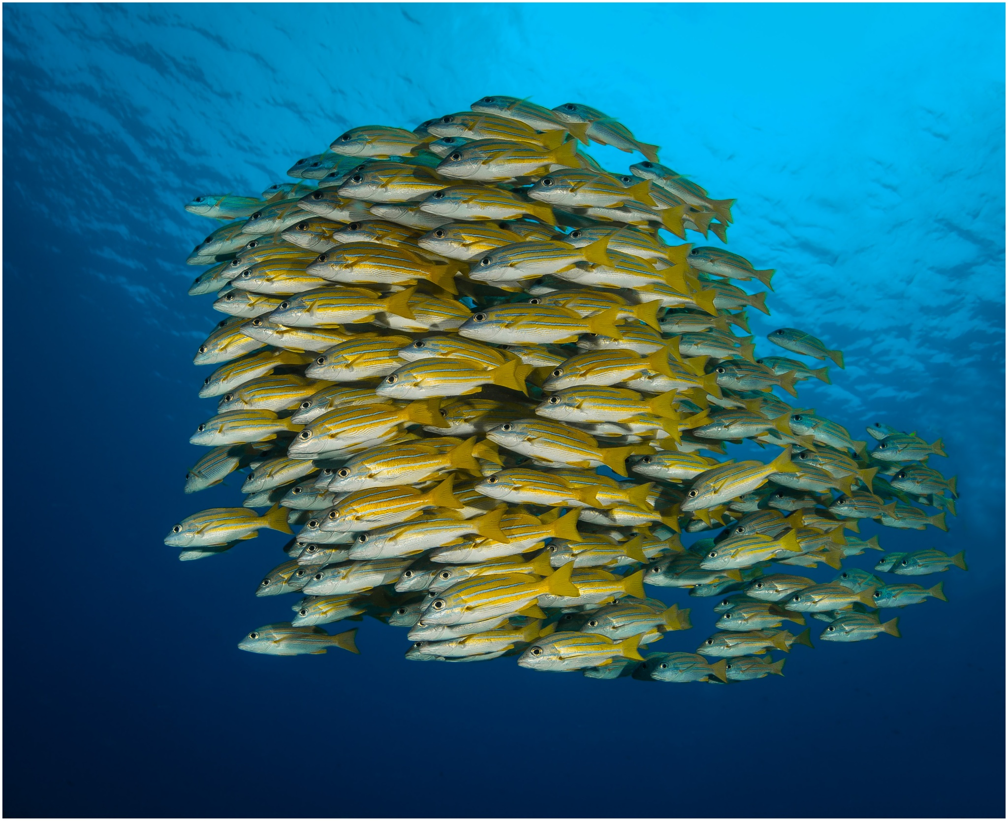 Yellow Snapper by Dr. Ortwin Khan