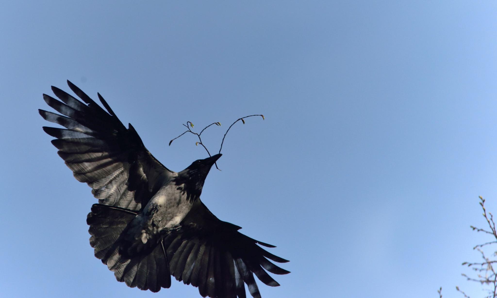 Crow by Mehmet Ali PAPUÇCUOĞLU