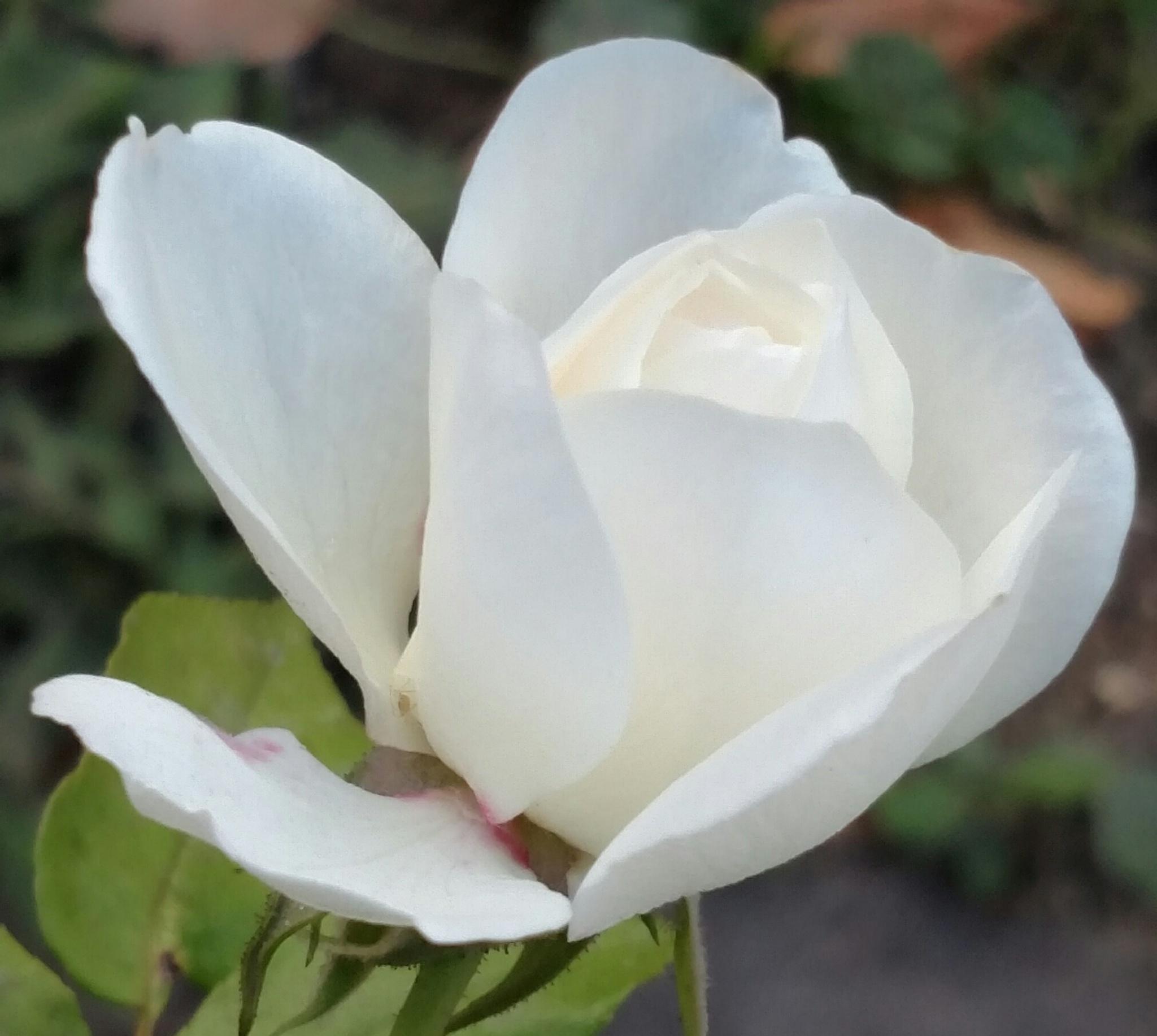 White rose by Jamais Trouve