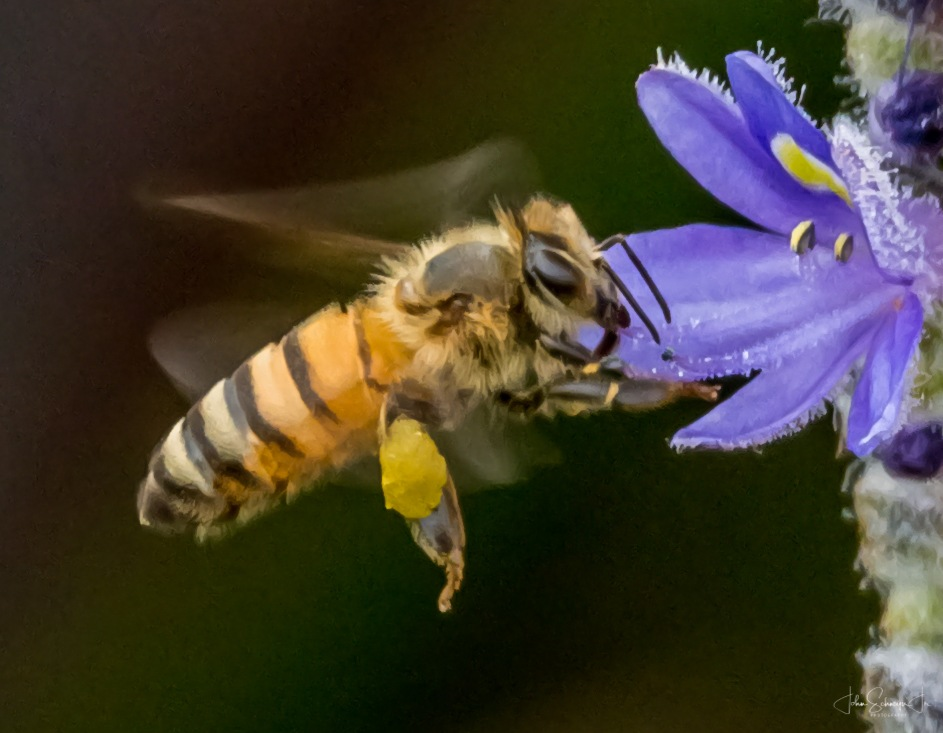 Hovering Bee by John Schneyer