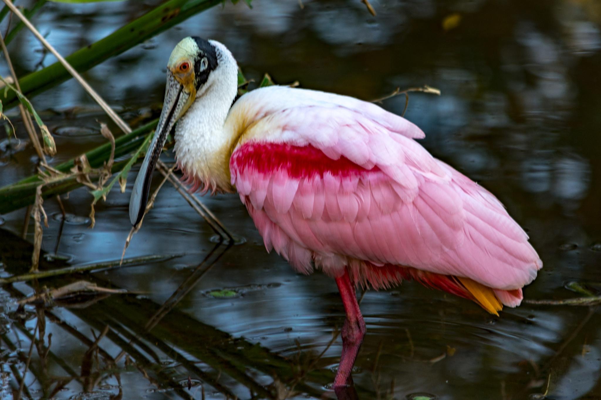 Pink Spoonbill by John Schneyer