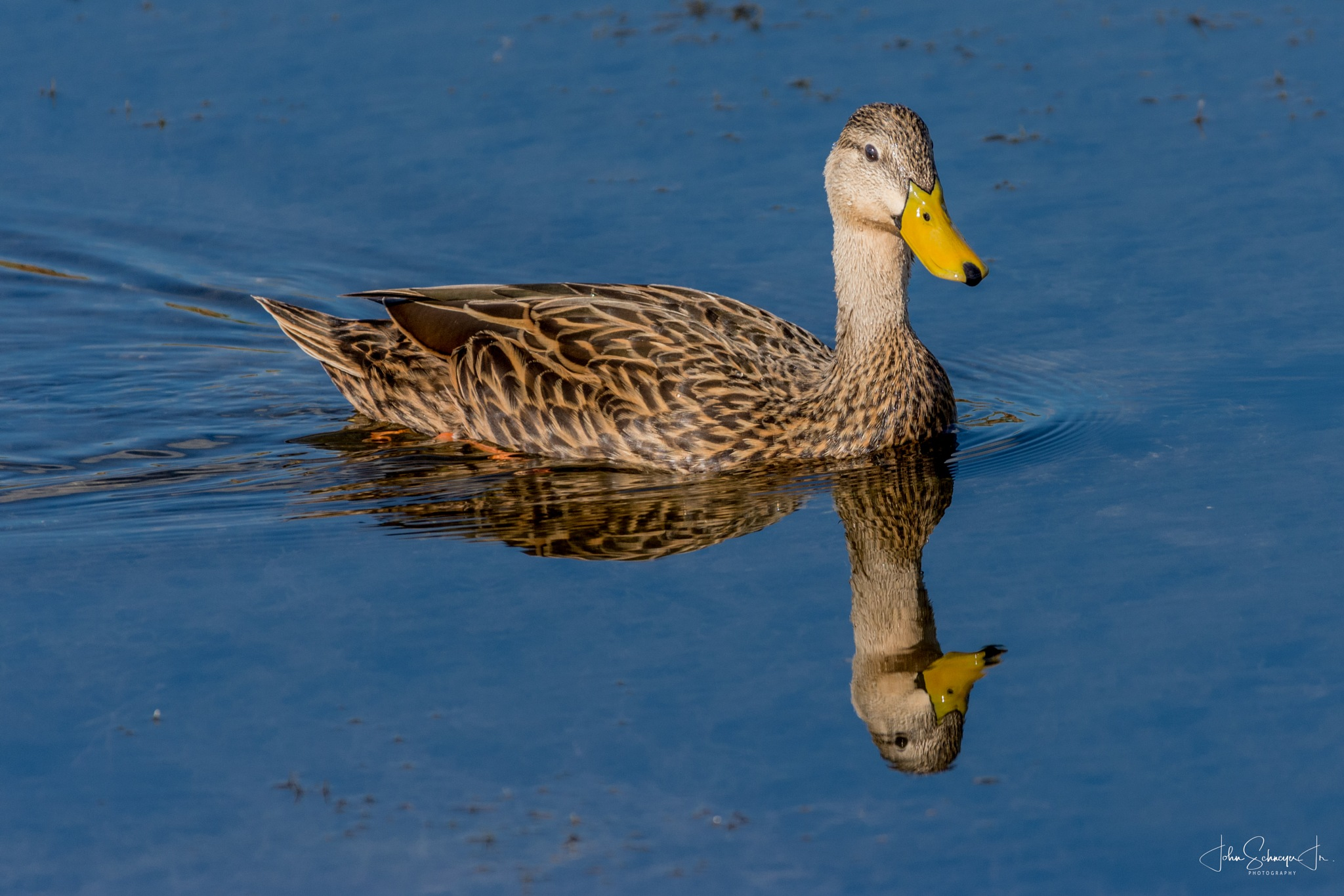 Cruising Duck with Reflection by John Schneyer