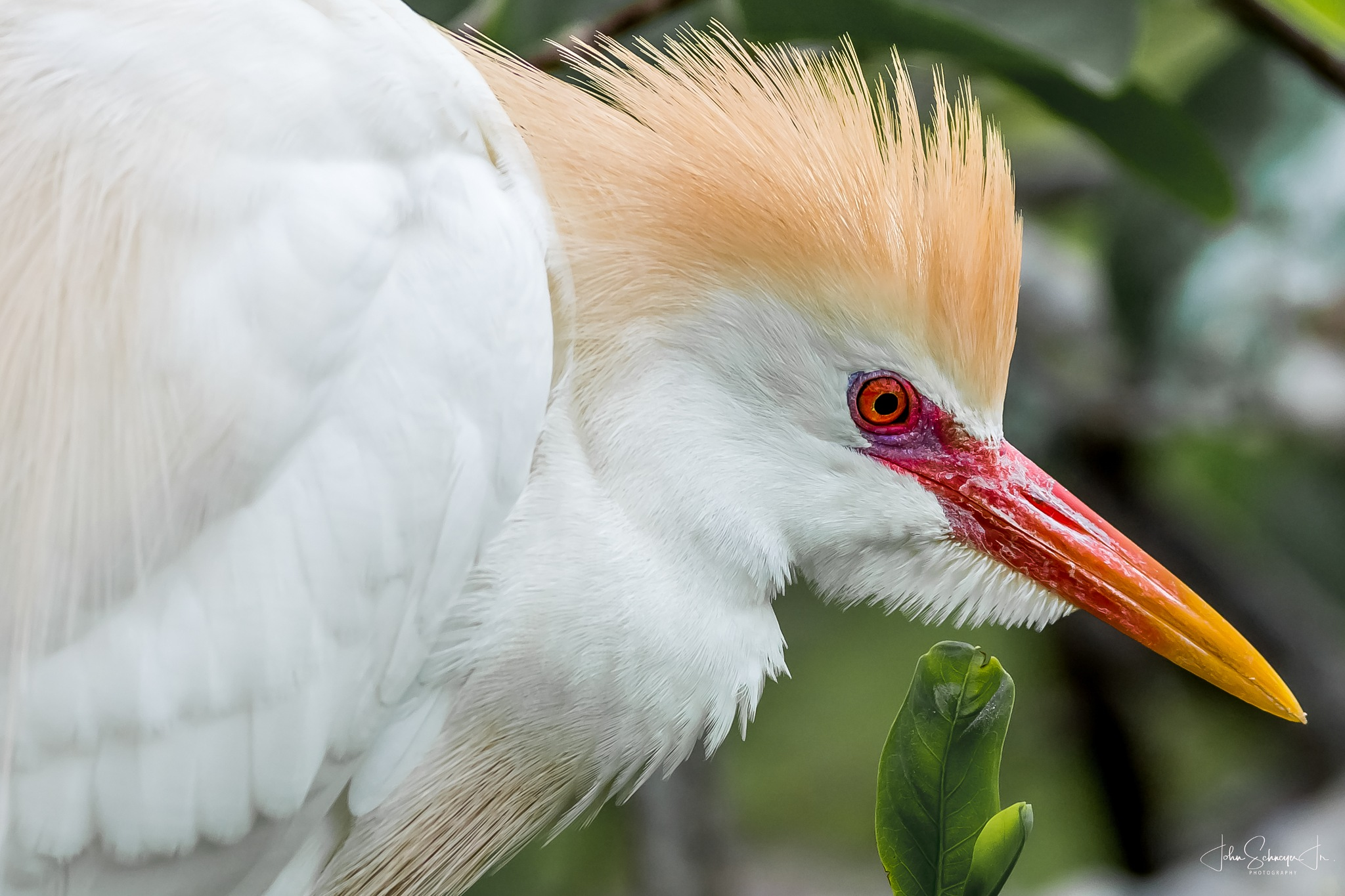 Cattle Egret by John Schneyer