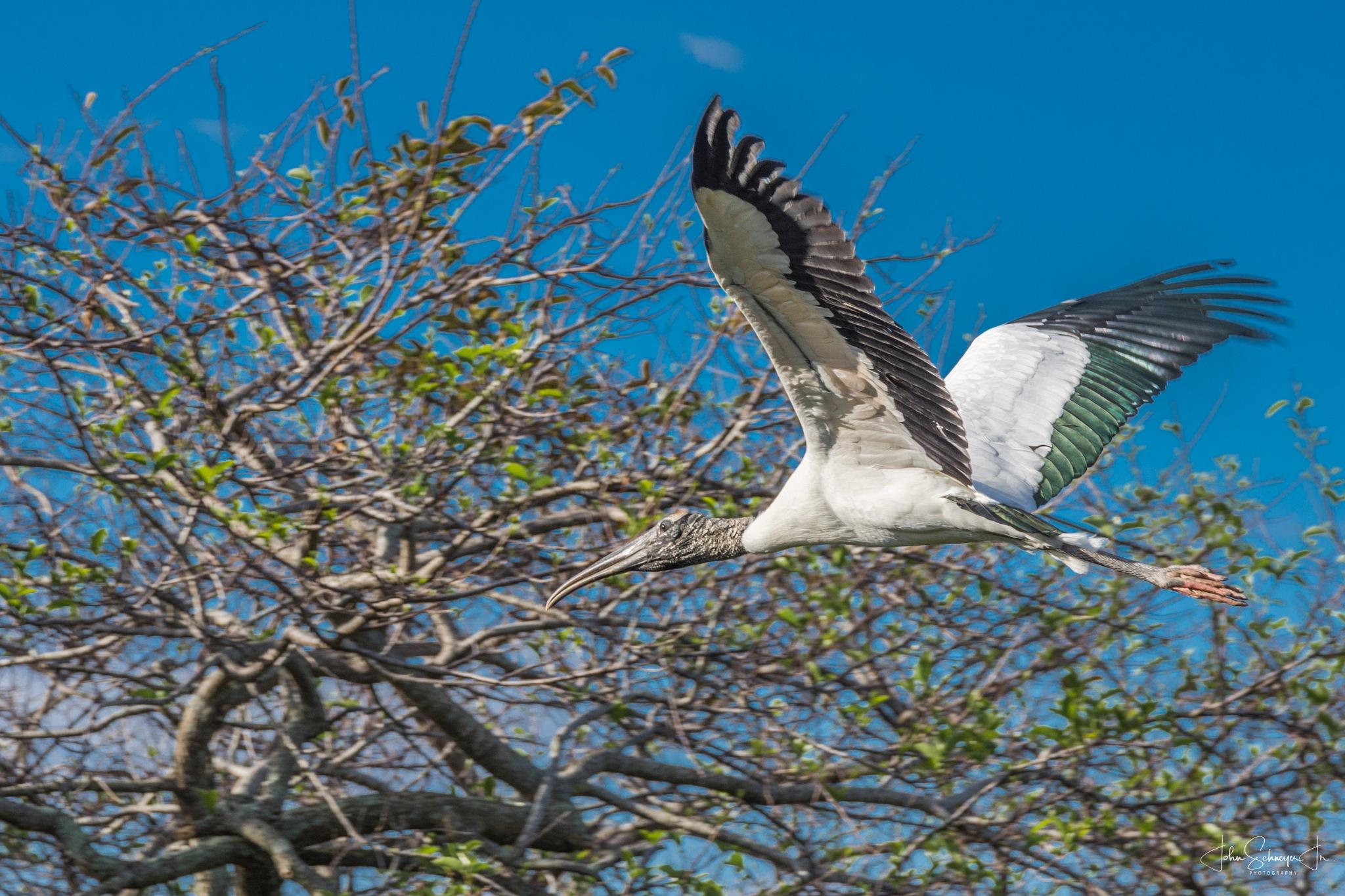 Soaring Stork by John Schneyer