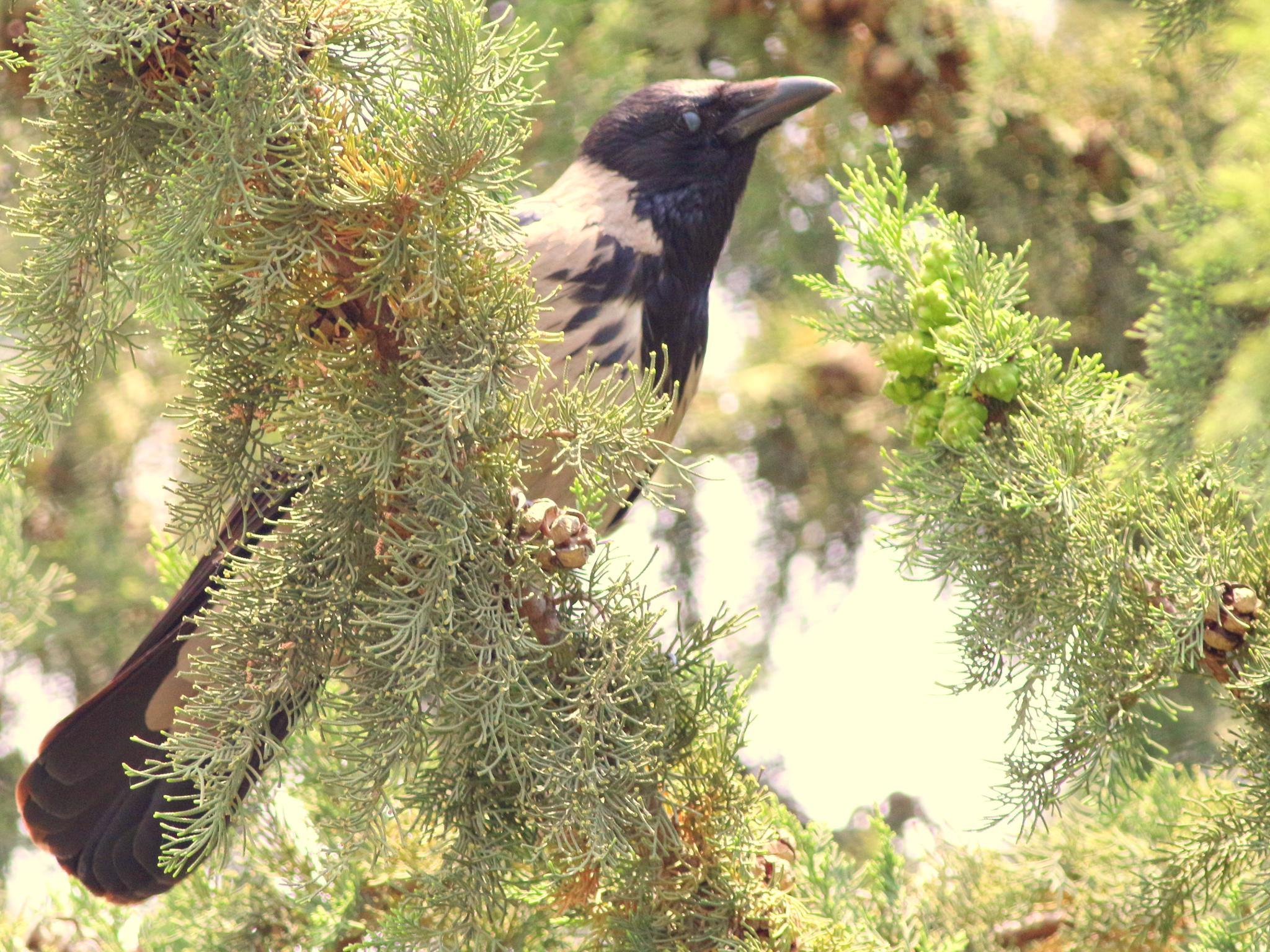 crow by Alp Emirhan Küpeli
