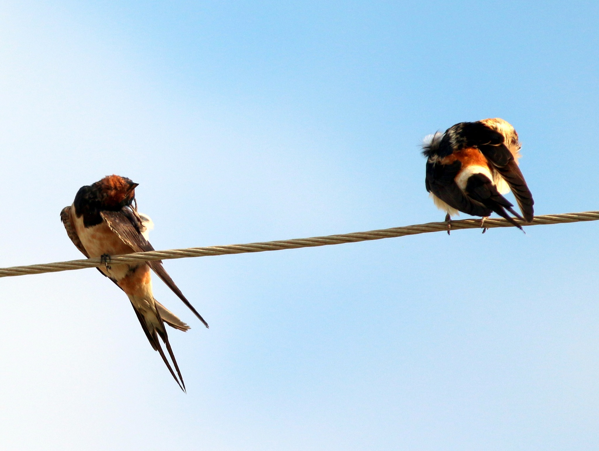 Swallows is cleaning.... by Alp Emirhan Küpeli