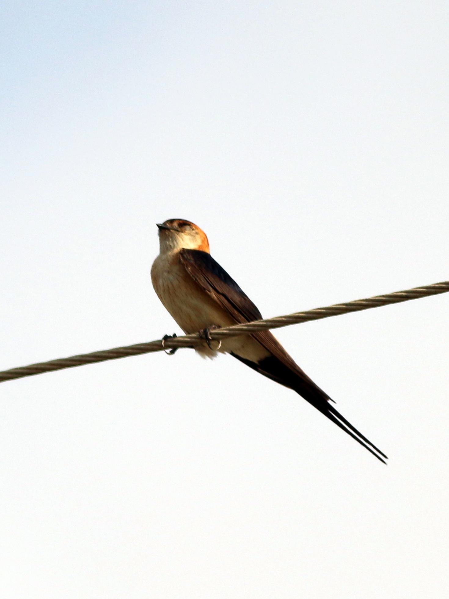 Barn Swallow... by Alp Emirhan Küpeli