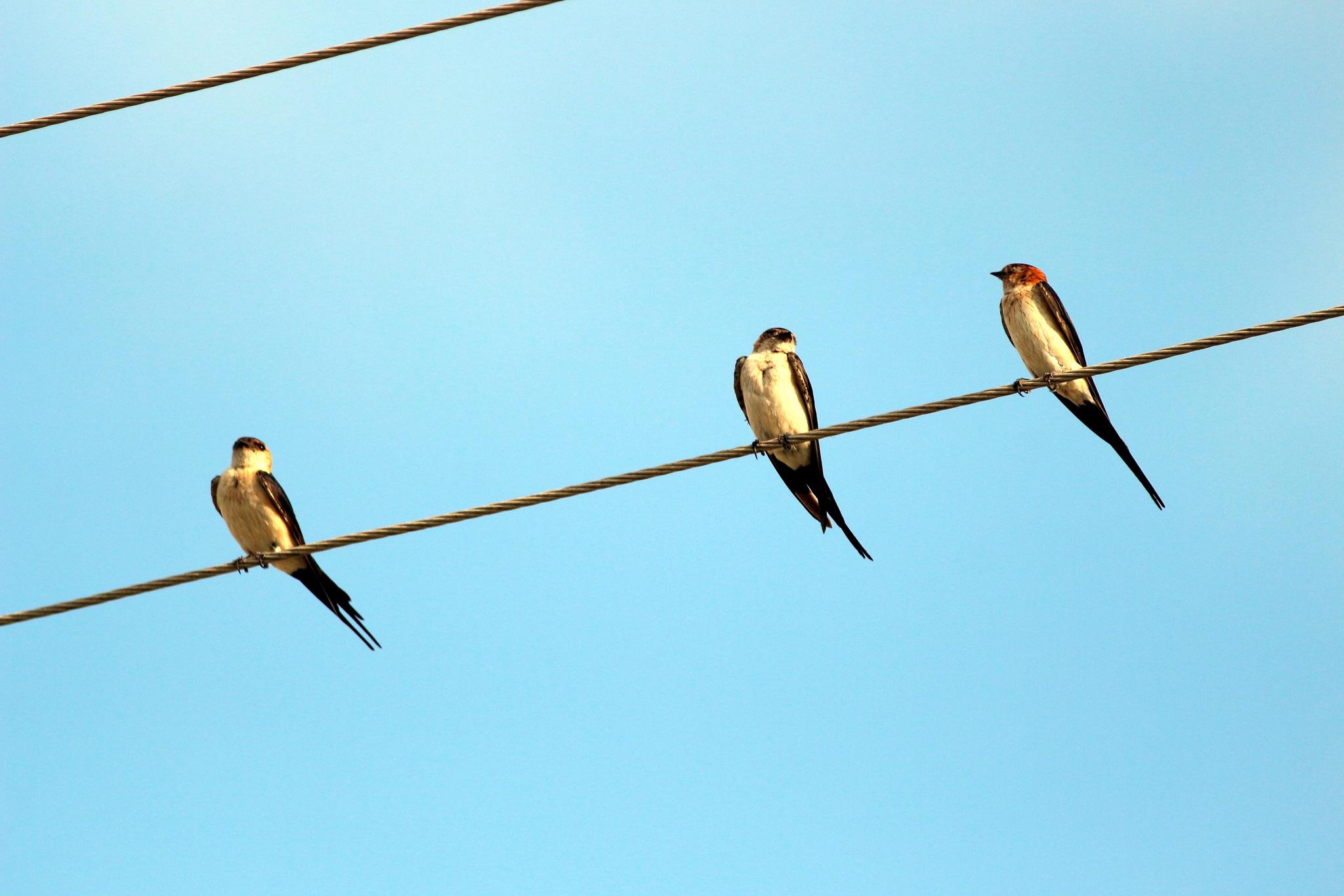 Swallows.... by Alp Emirhan Küpeli