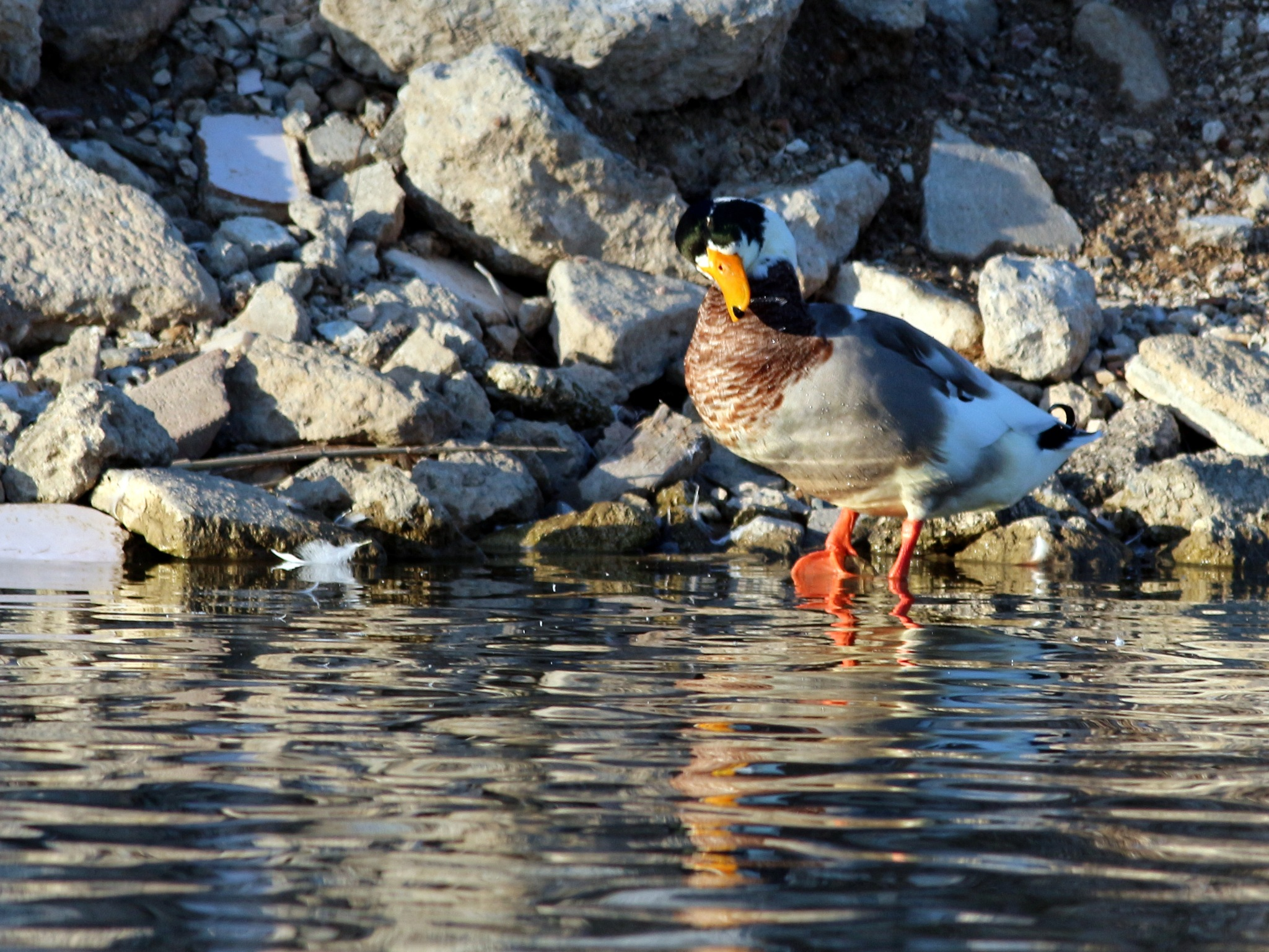 Duck-1... by Alp Emirhan Küpeli