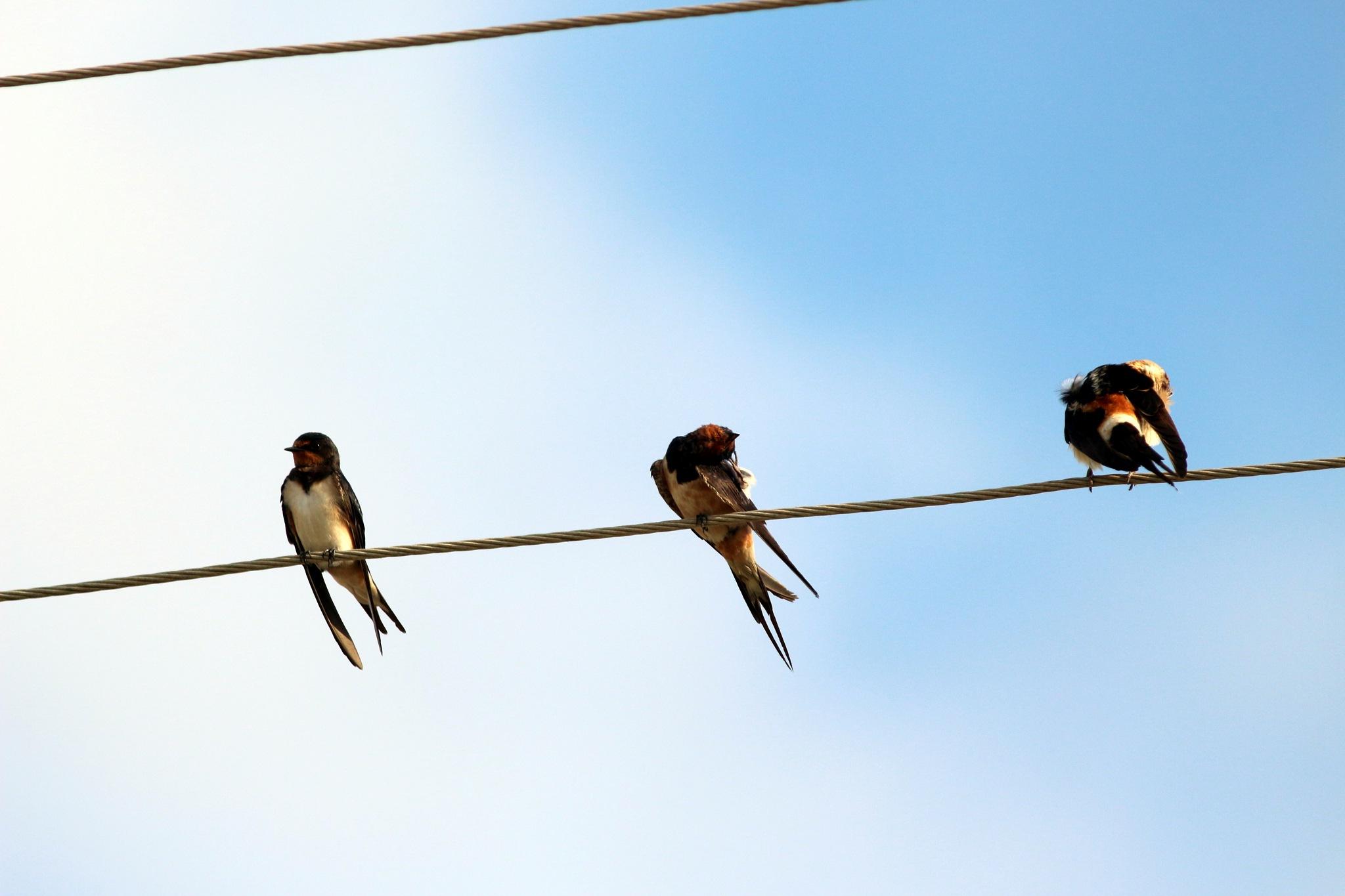 Swallows... by Alp Emirhan Küpeli