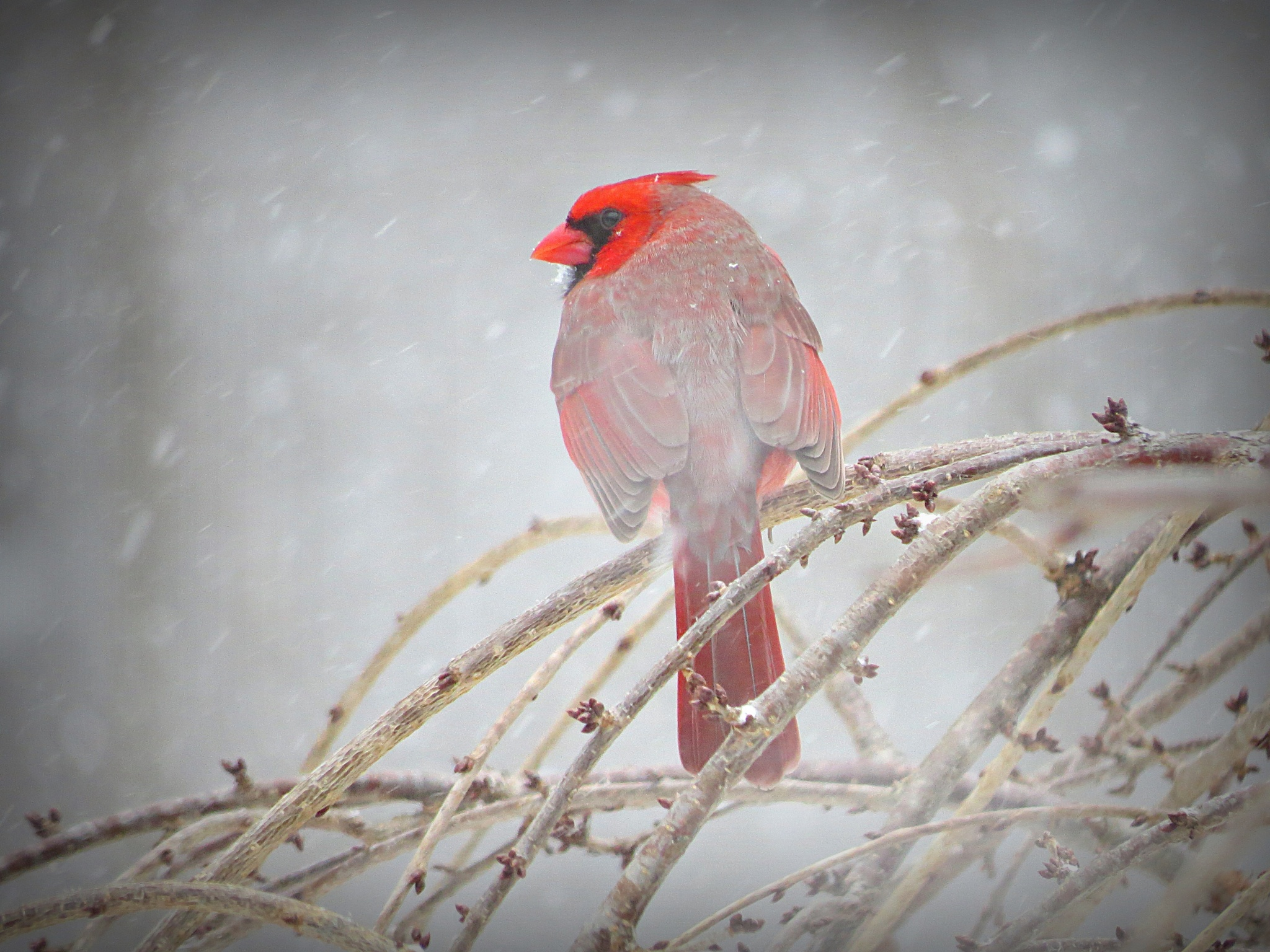 The Cardinal and the Snow... by captkweb