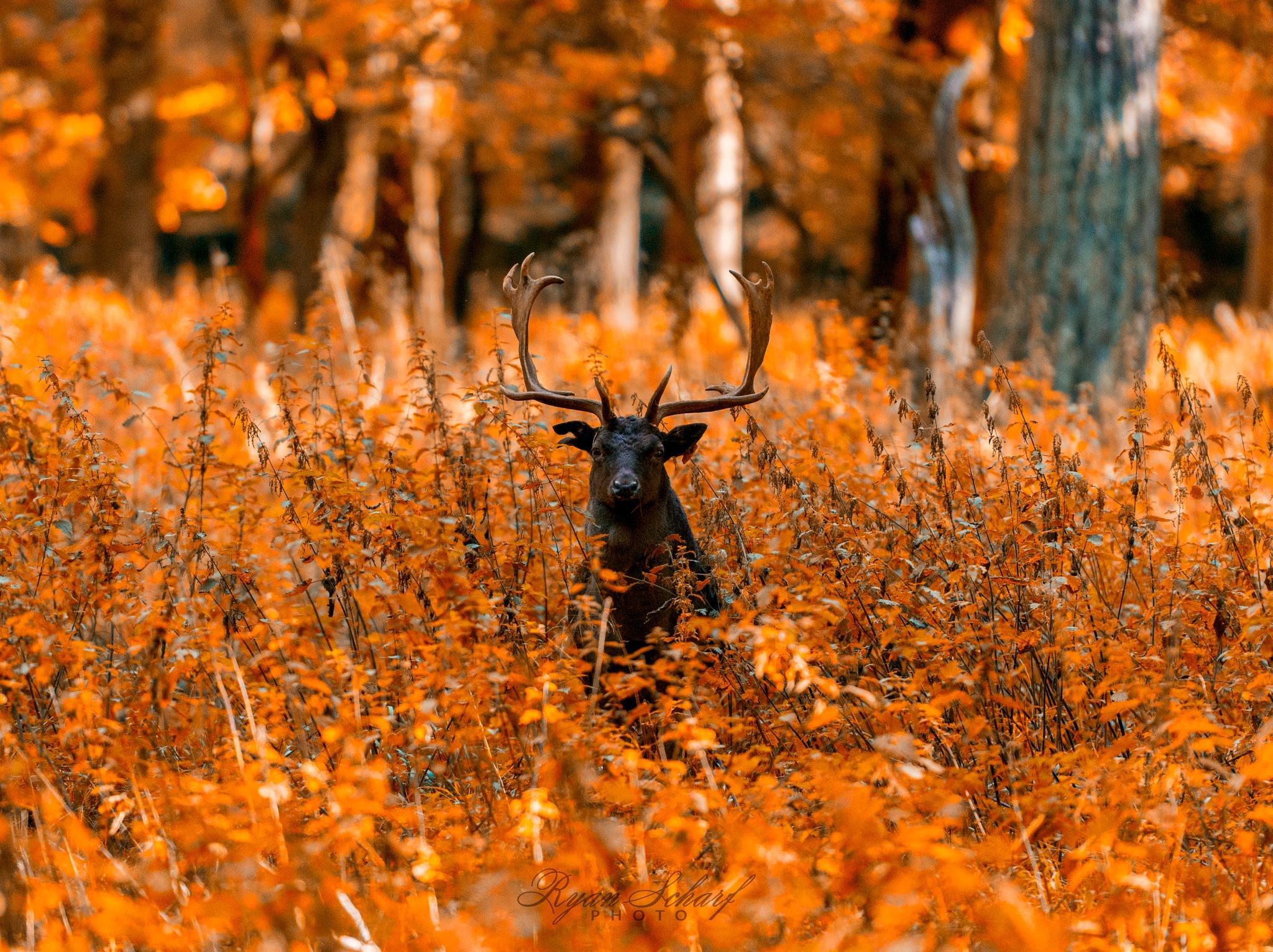 Deer in colors of autumn by Erős Rezső