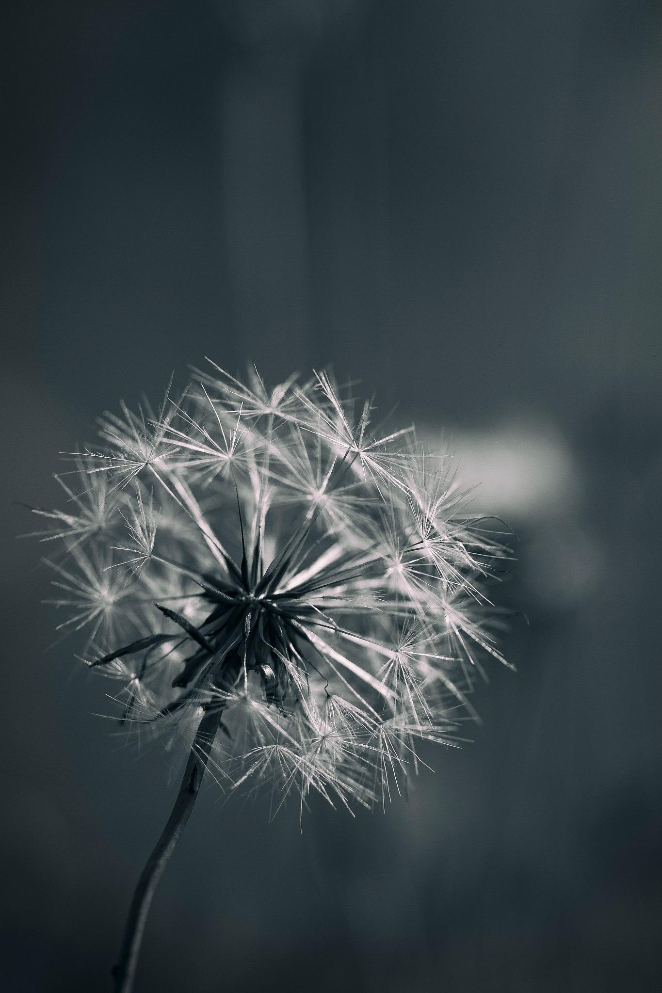 Twilight Dandelion by Steven Ritchie