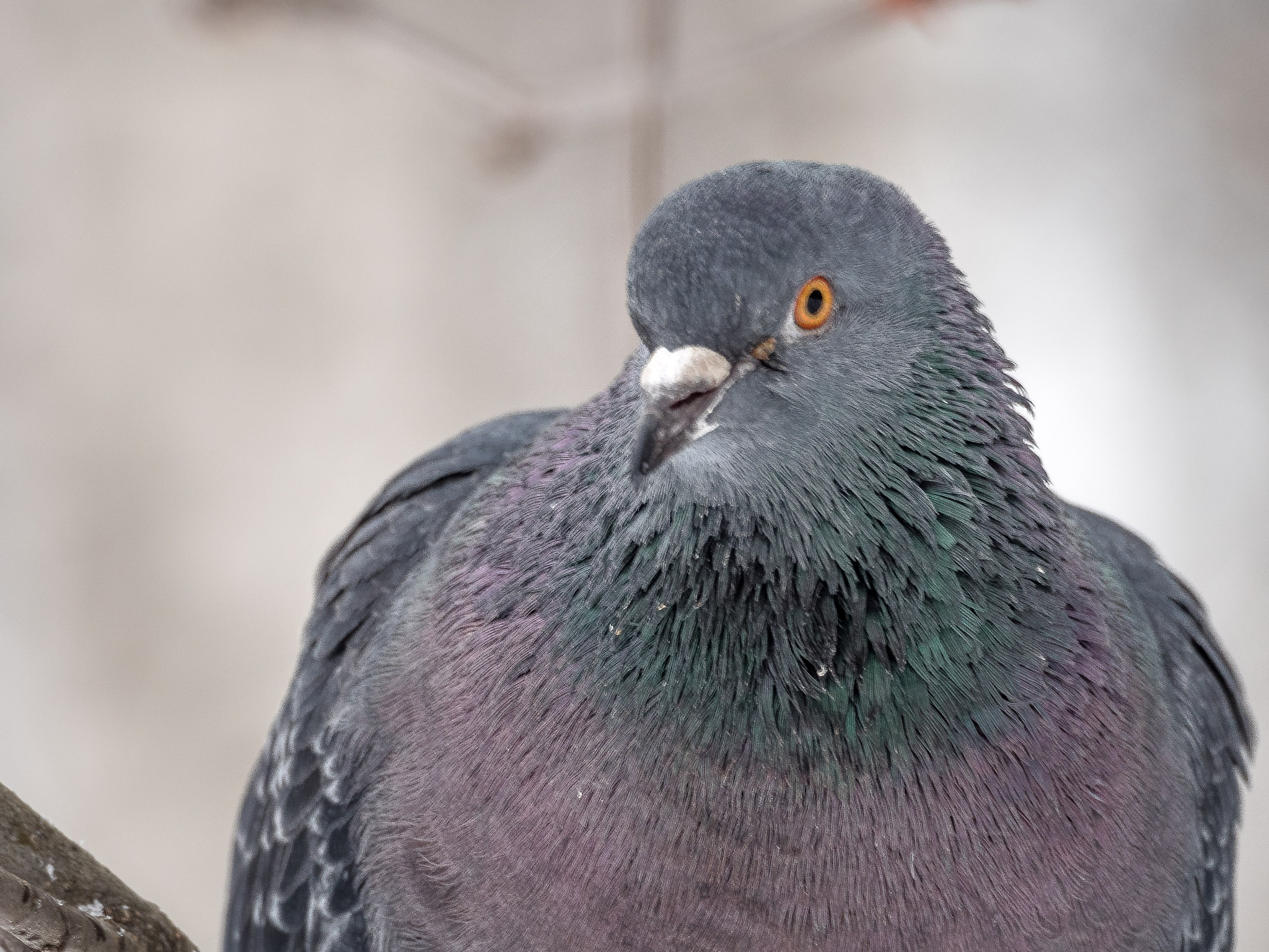 pigeon by OsA