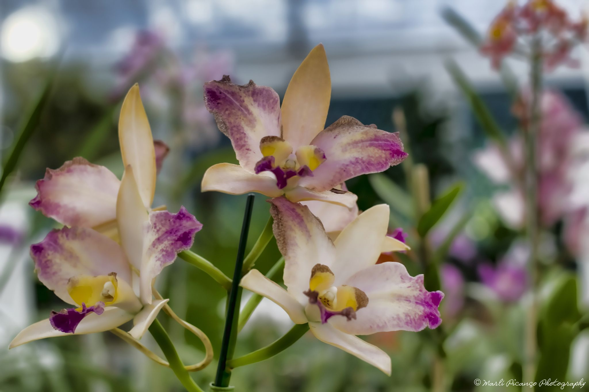 Orchids by marlipicanco