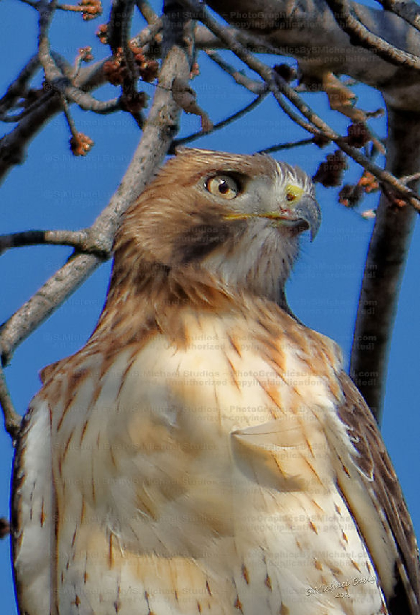 Red Tailed Hawk Profile by sbasly