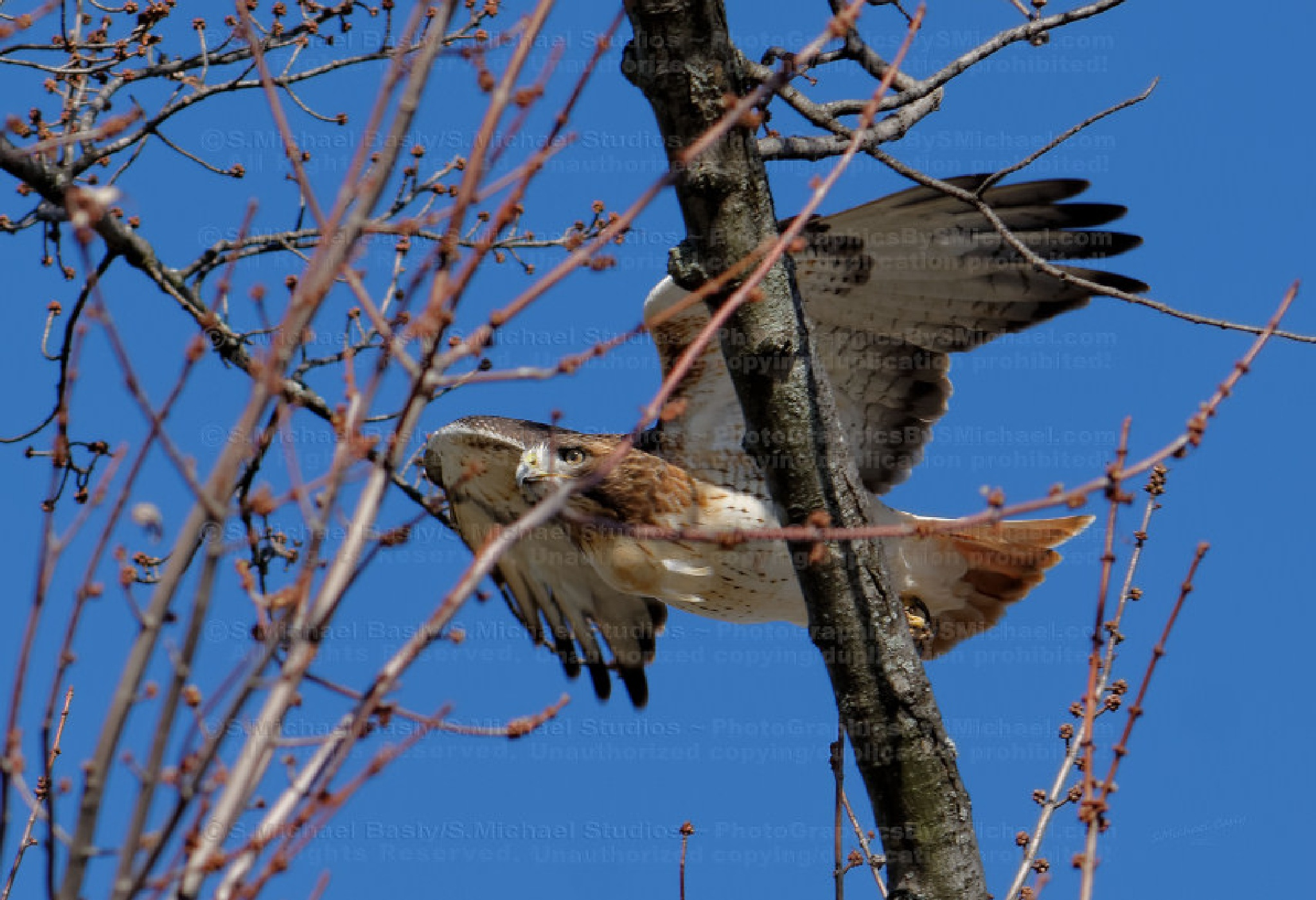 RED TAIL HAWK - Flying Through Treetop by sbasly