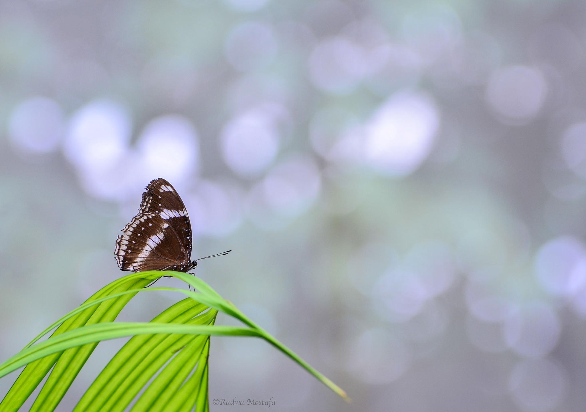 Butterfly bokeh  by RadwaMostafa