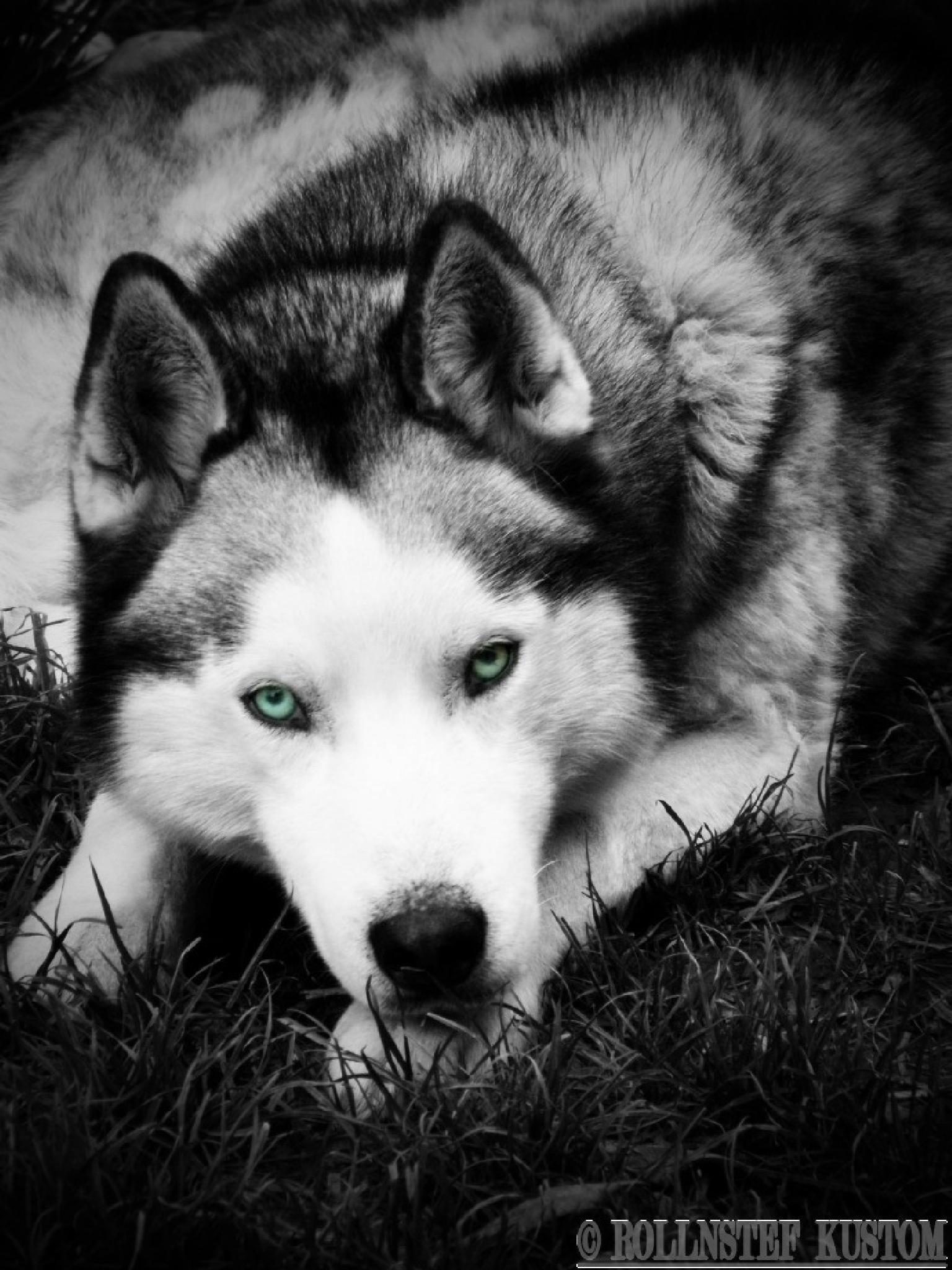 Husky blue by rollnstef