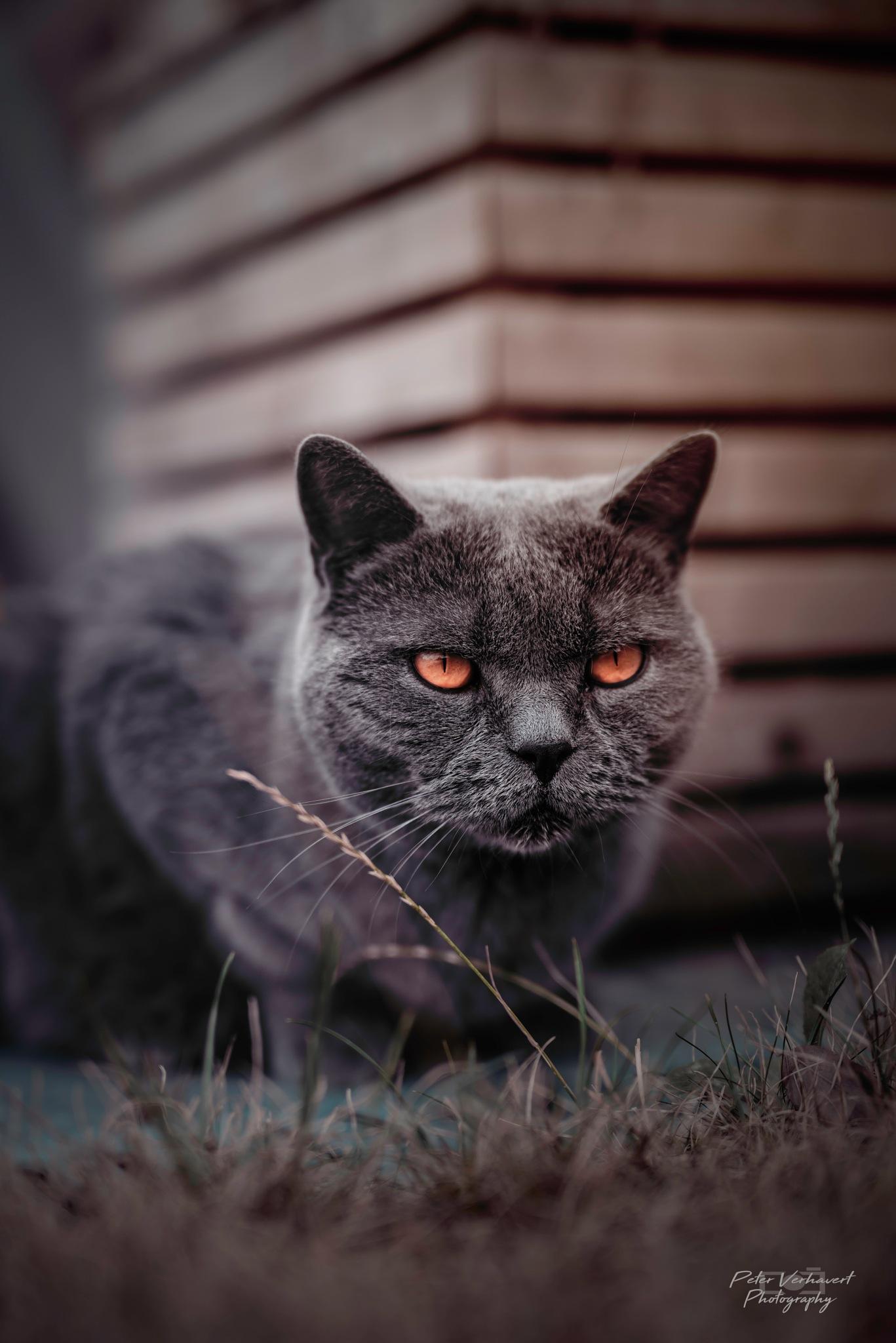 devilish cat by ronin18
