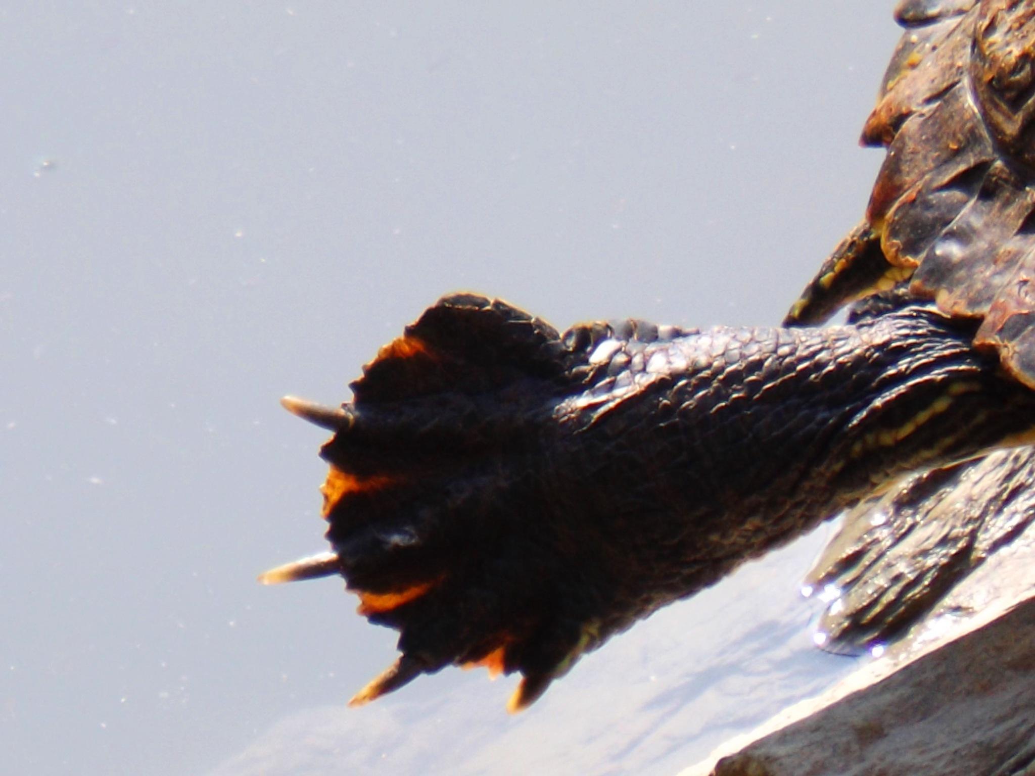 turtle's nails by cebaskaya