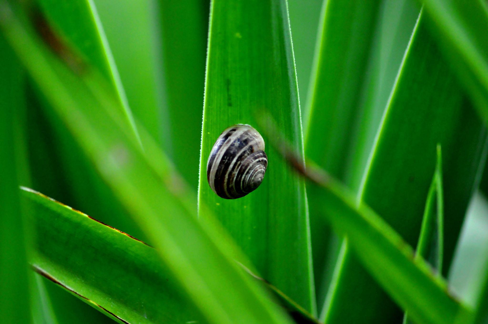 snail by cebaskaya