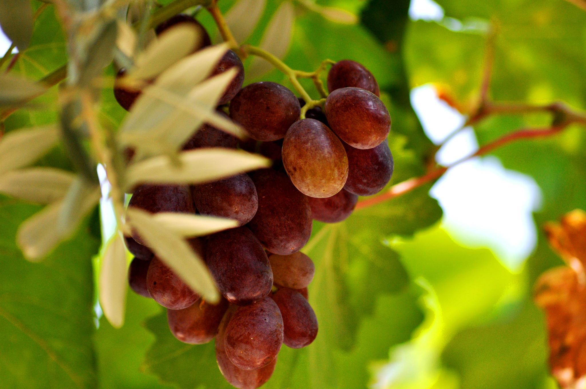 grape by cebaskaya