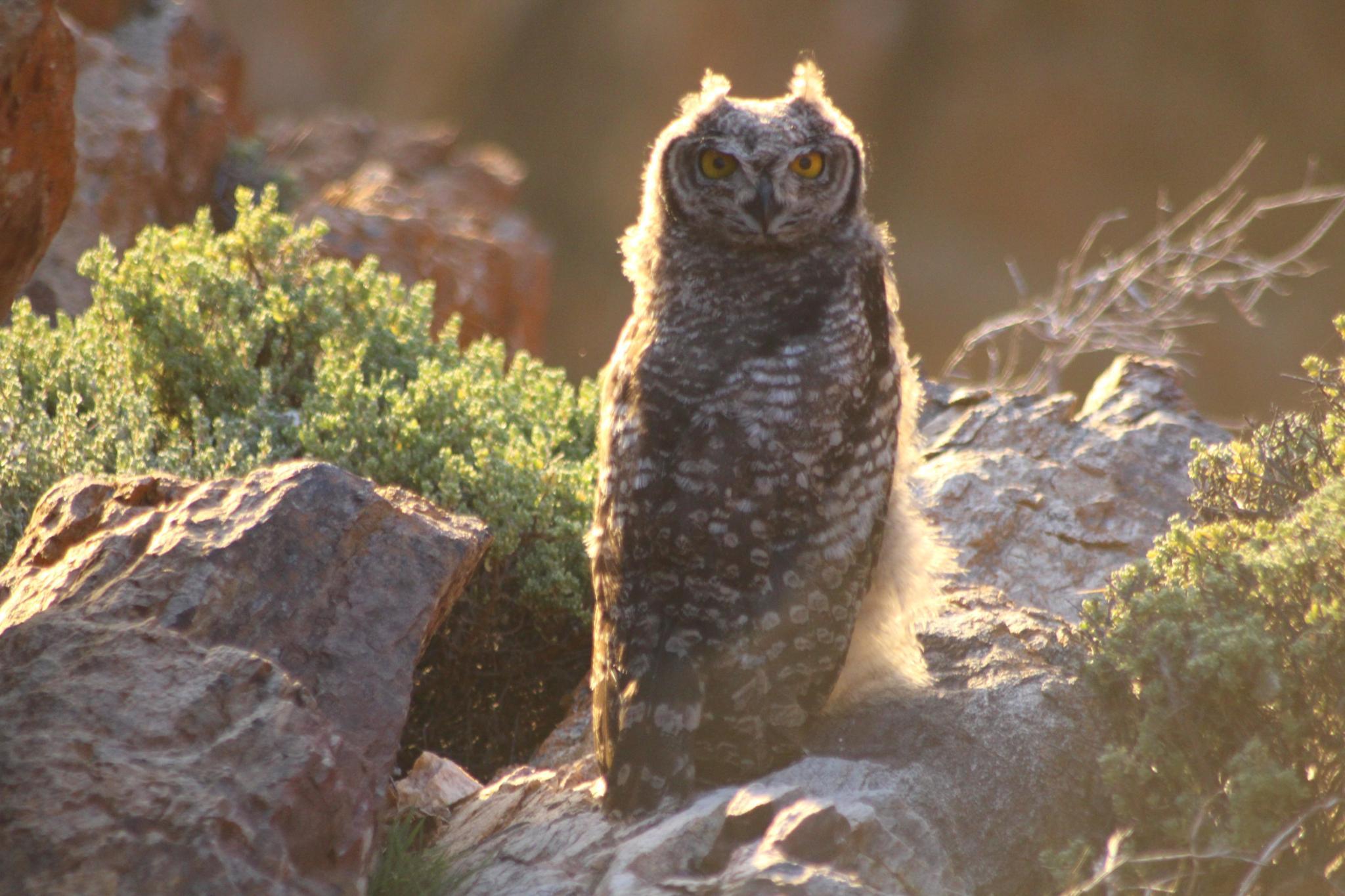 The Owl by Judithstopforth