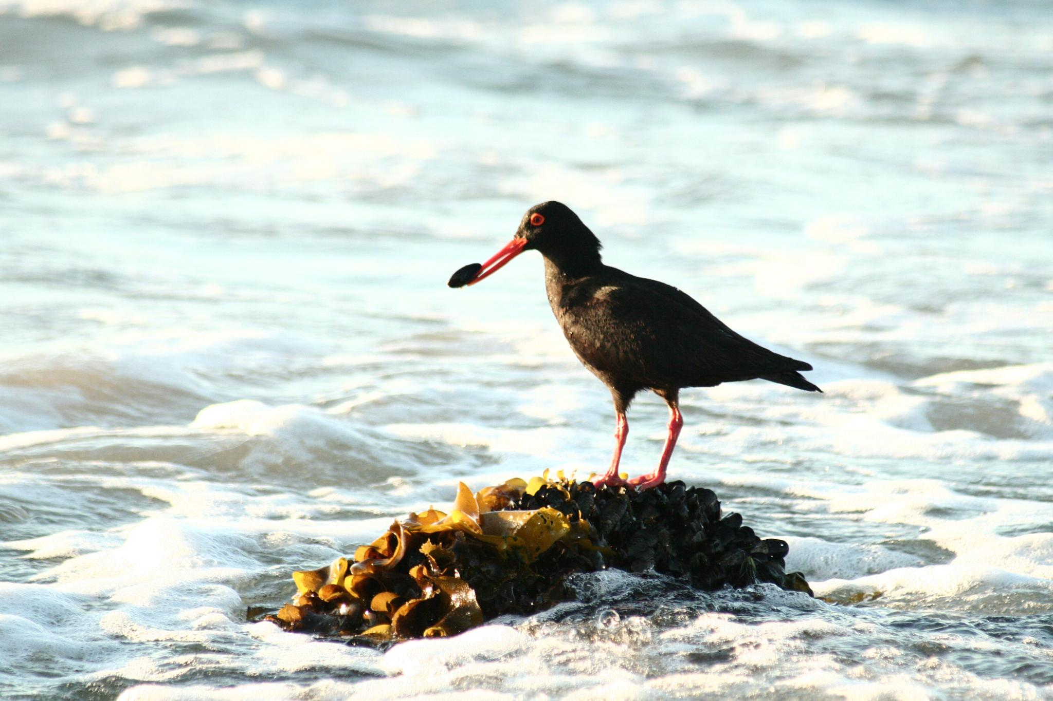 The African black Oystercatcher by Judithstopforth